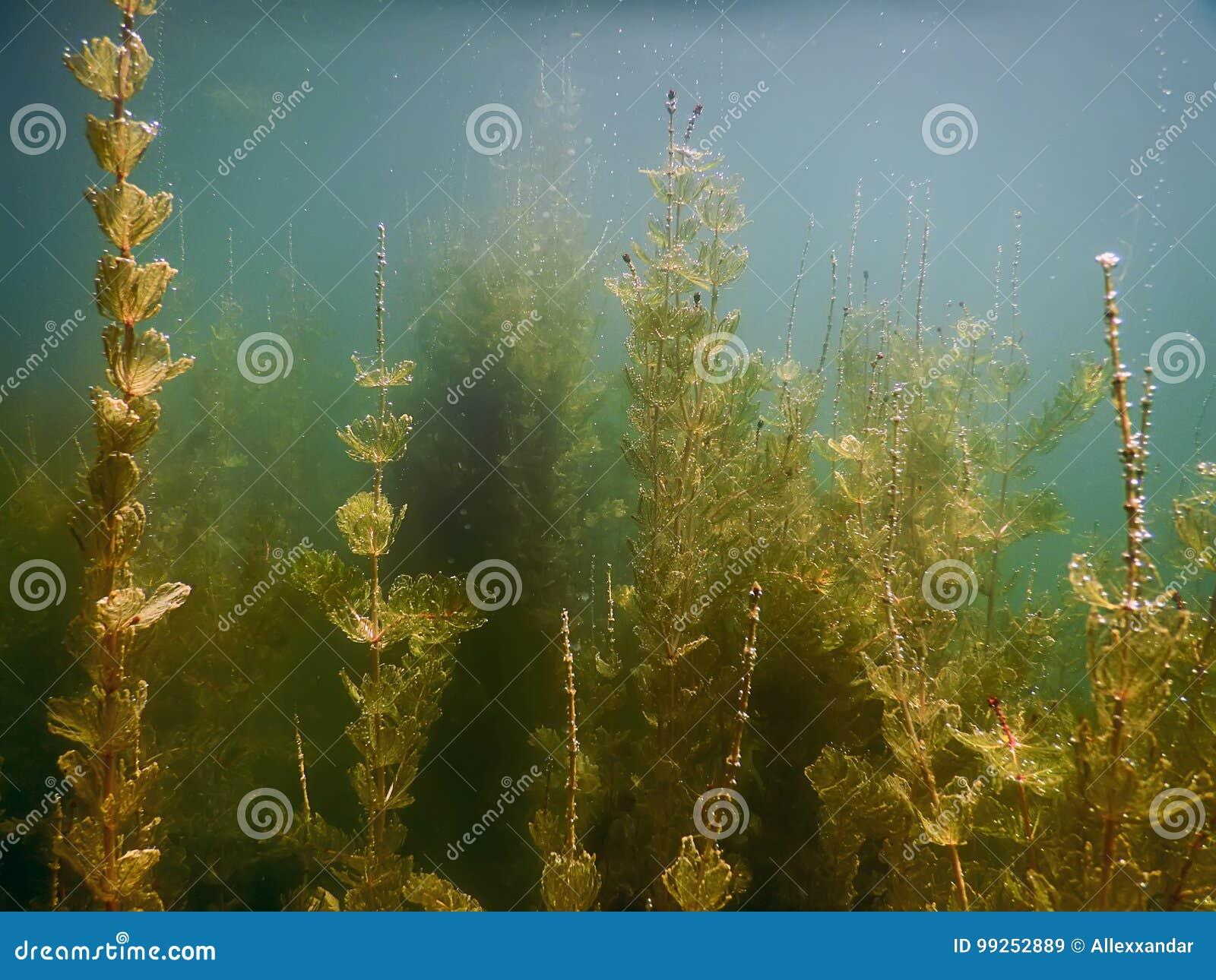 Flora subaquática Rios subaquáticos das plantas, lagos, lagoa