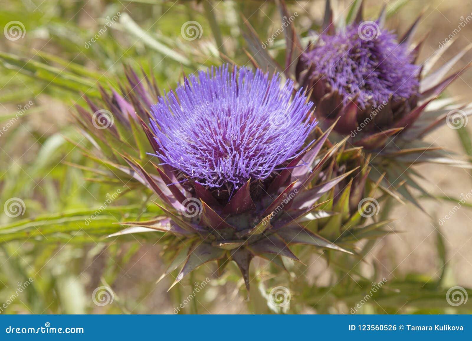 Flora van Gran Canaria - bolartisjok