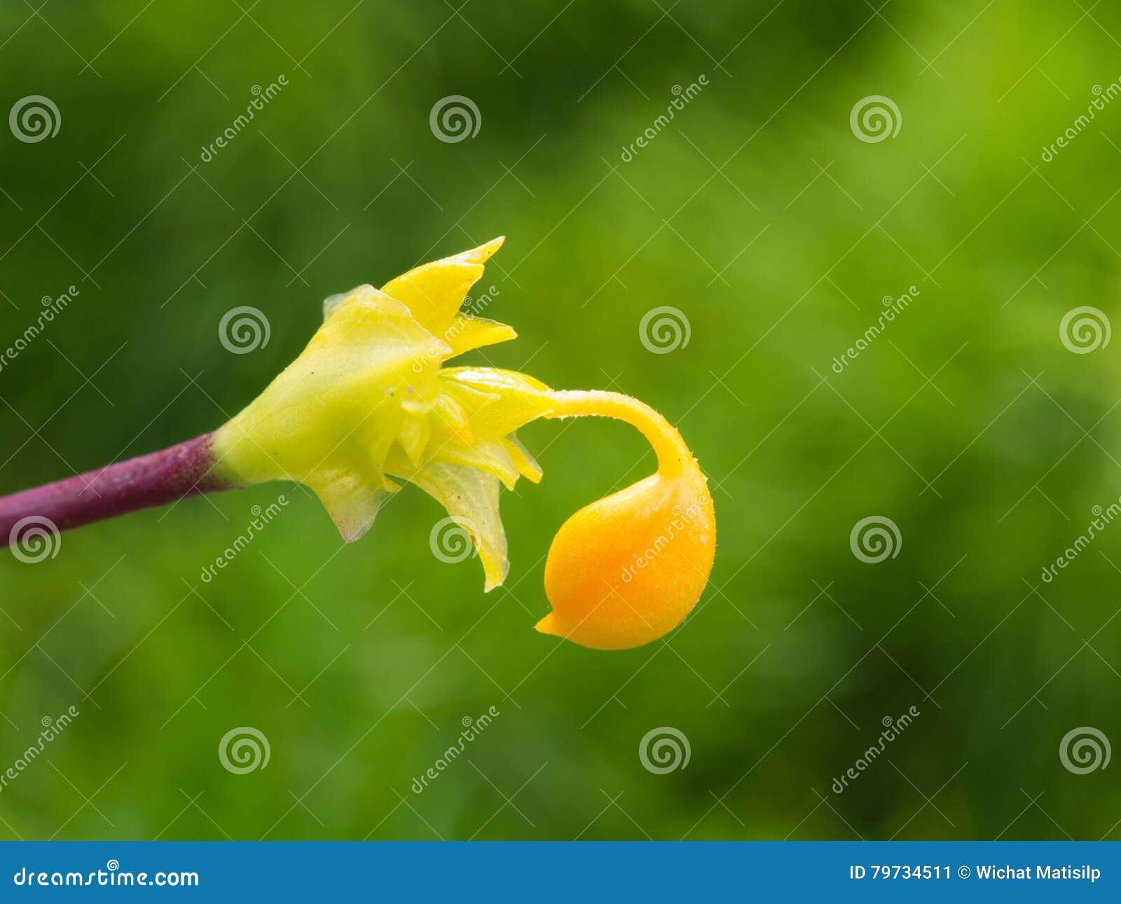 Floración amarilla de la flor de Globba