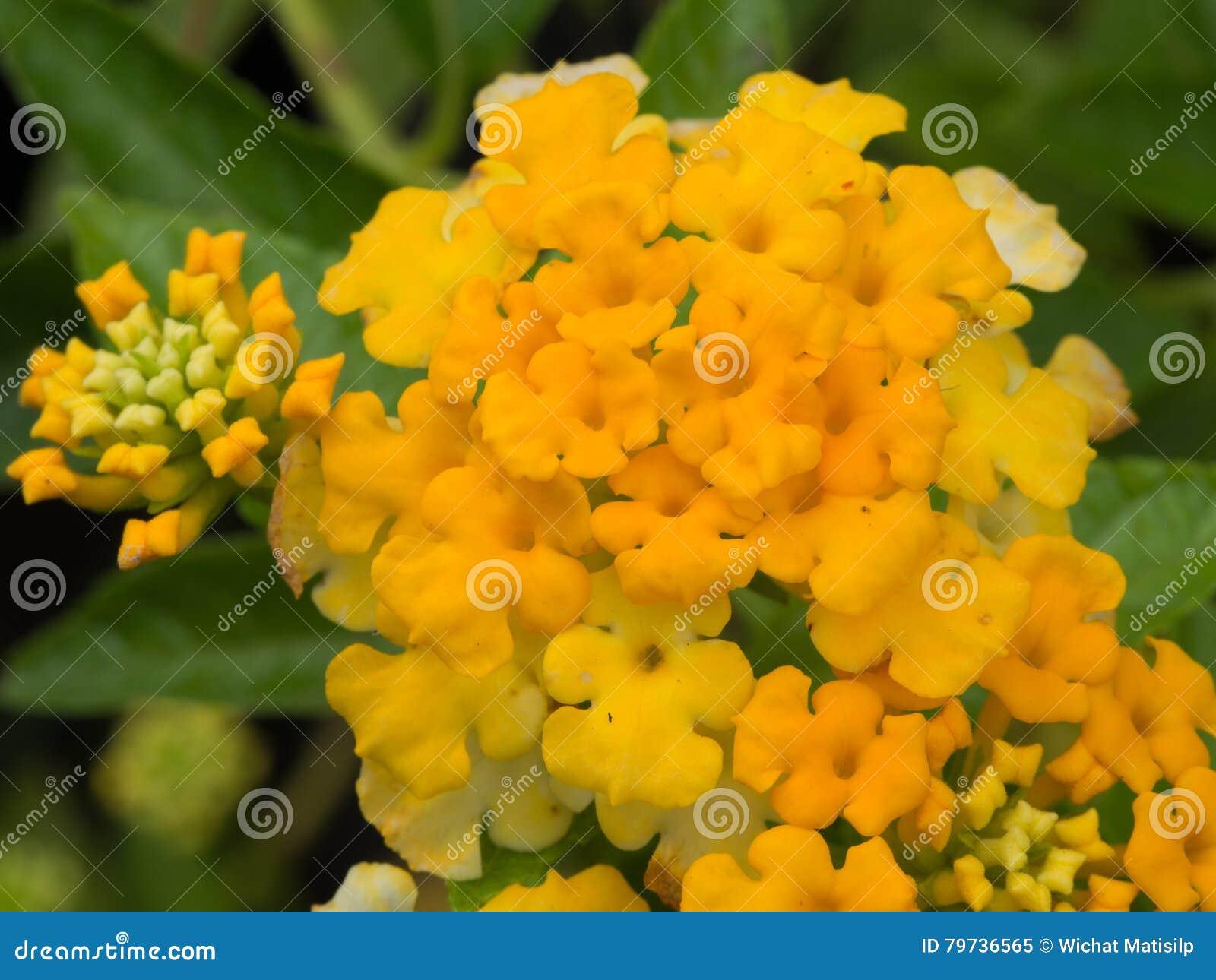 Floración amarilla de la flor del seto