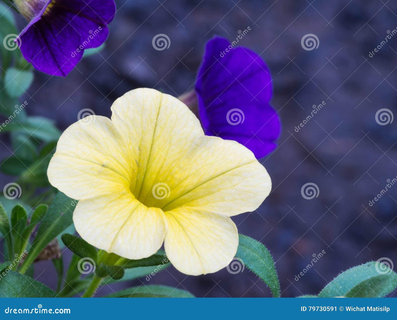 Floración amarilla y púrpura de las flores de la petunia