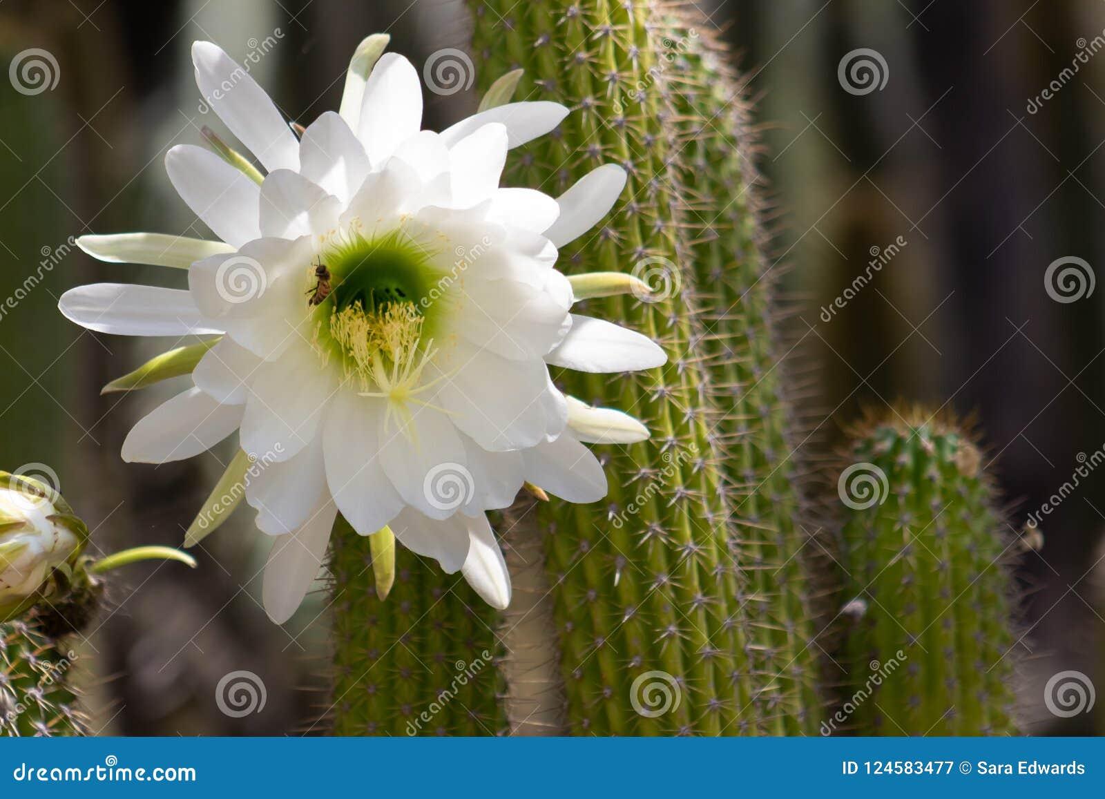 Floración blanca gigante espectacular en un cactus de Echinopsis Schickendantzii con una abeja que consigue el néctar del centro