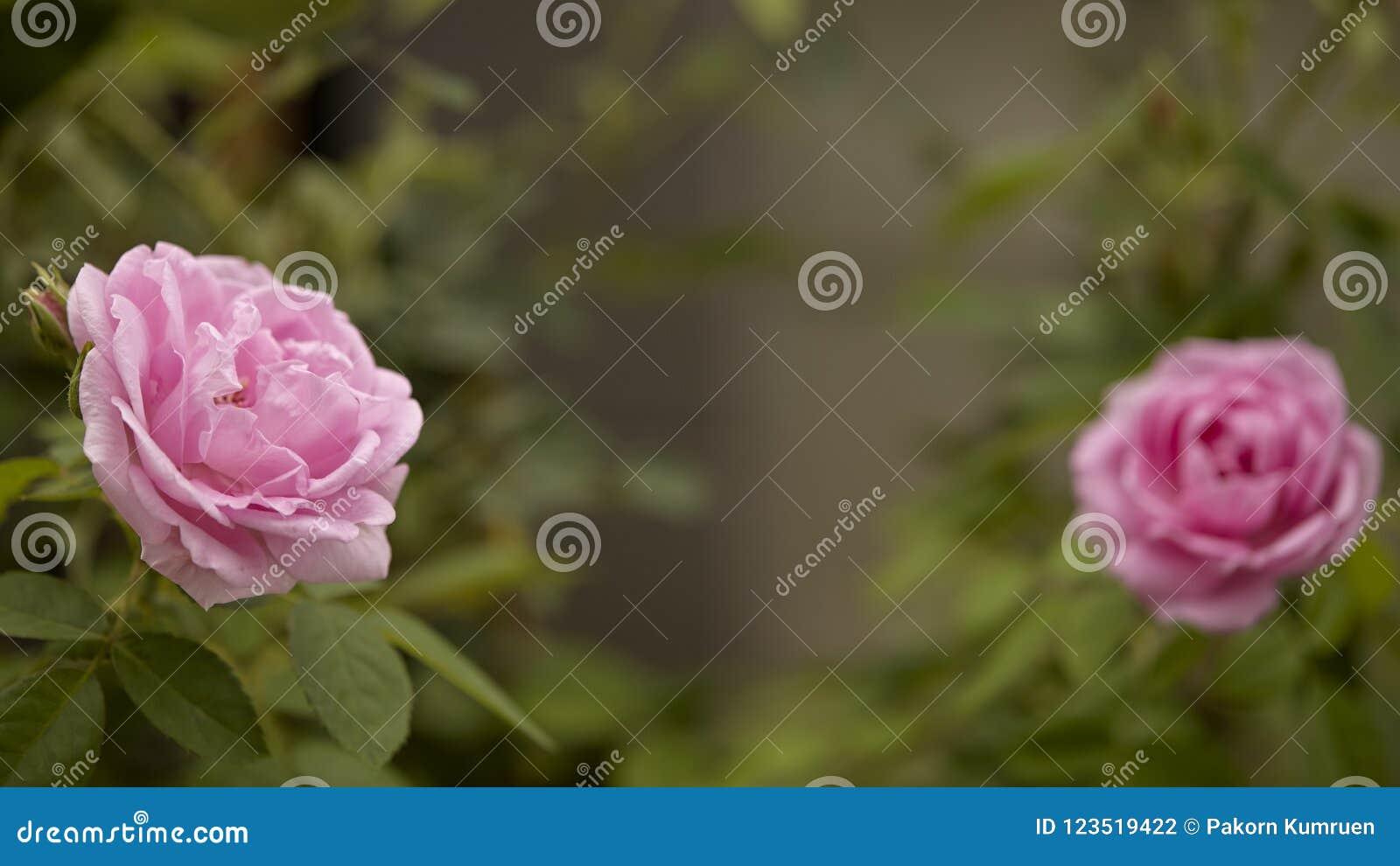 Floración color de rosa de la flor del inglés