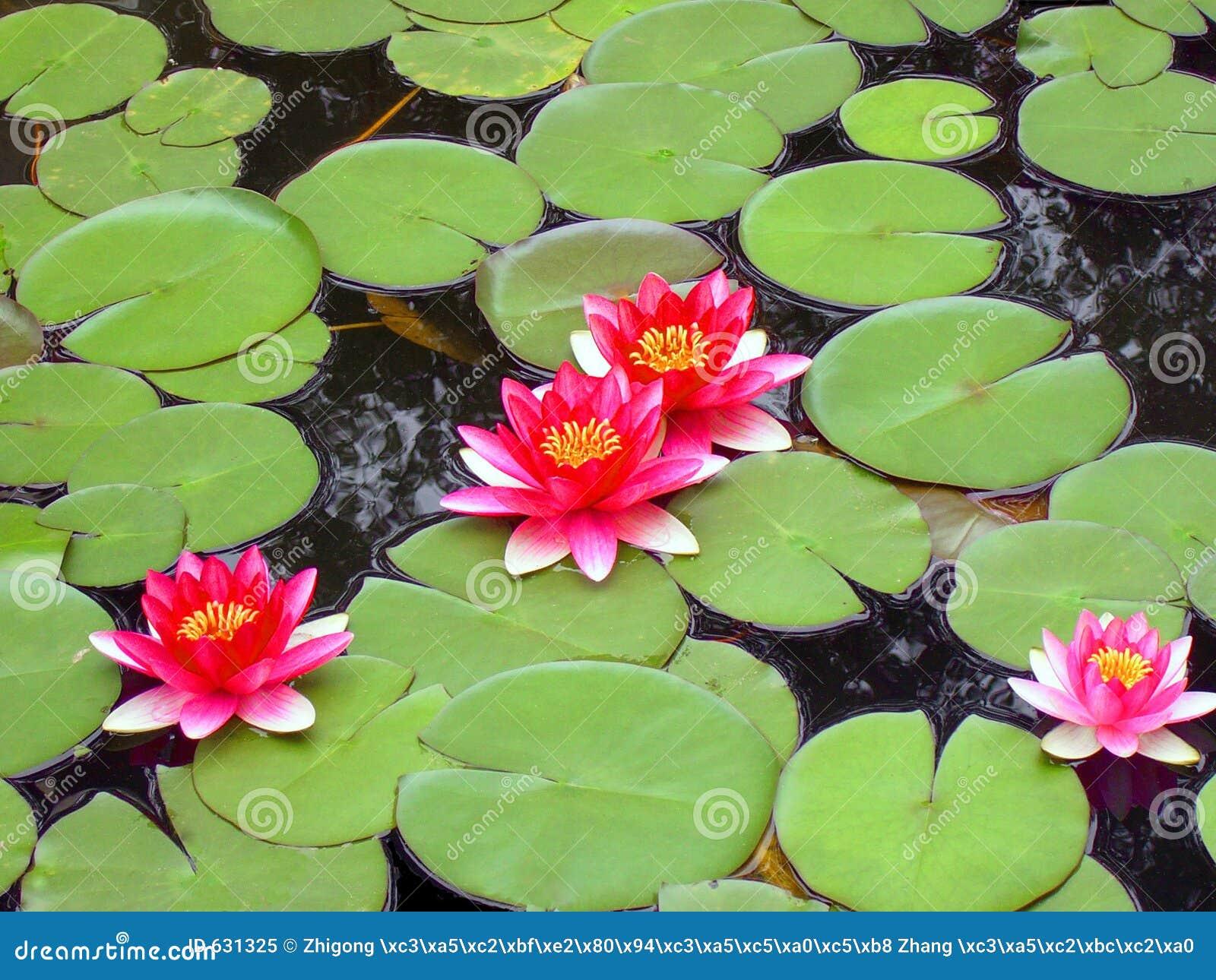 Floración de cuatro enanos waterlily en hojas redondas verdes.