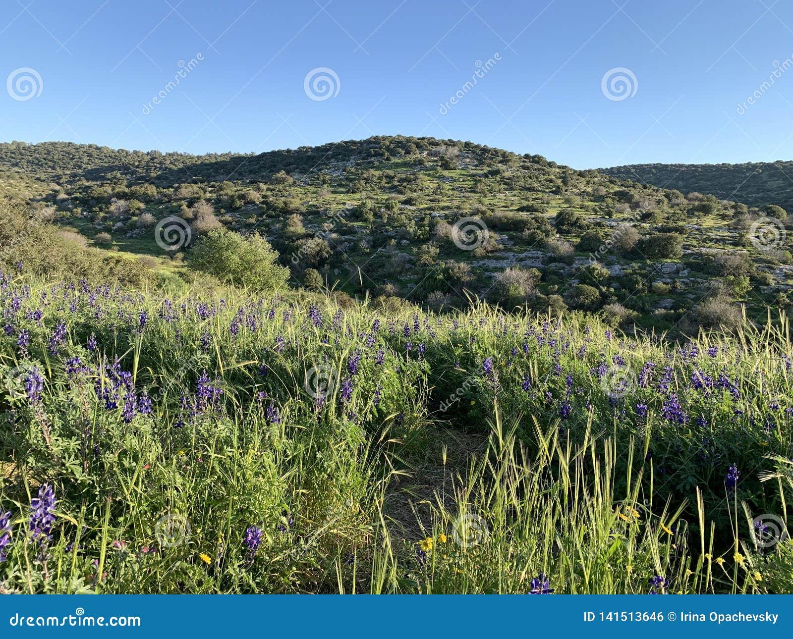 Floración de la primavera en las colinas de Judea