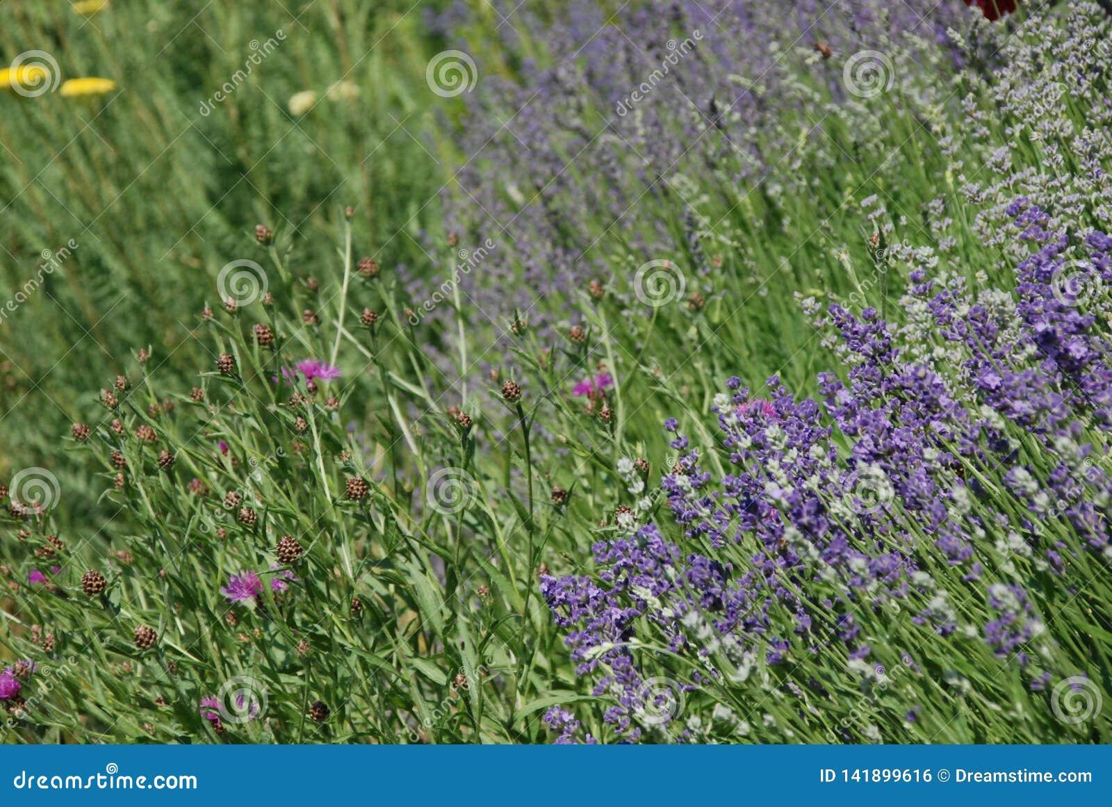 Floración de los Wildflowers y de la lavanda