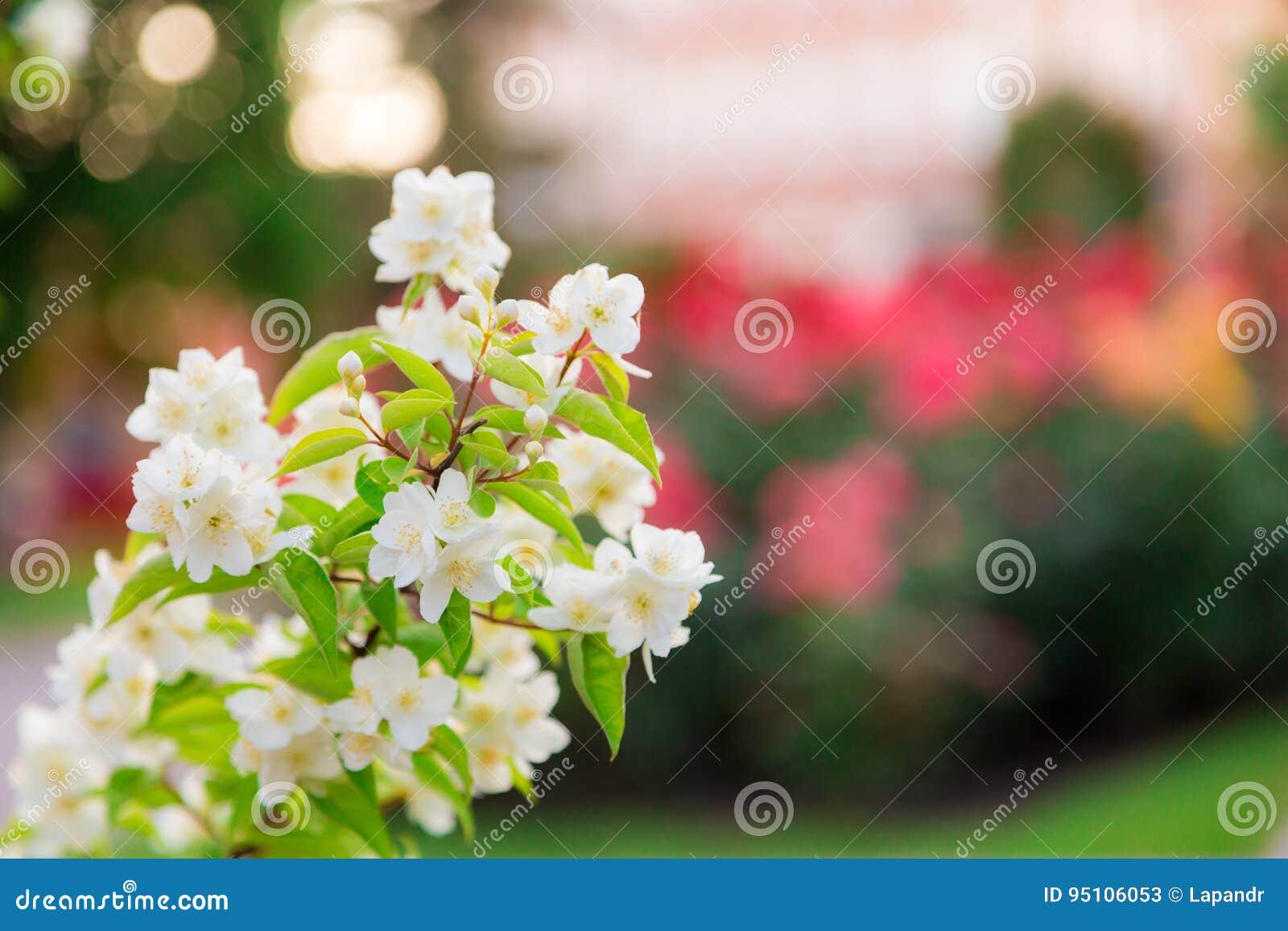 Floración Del Jardín De Chubushnik, O Del Jazmín En El Parque Bush ...