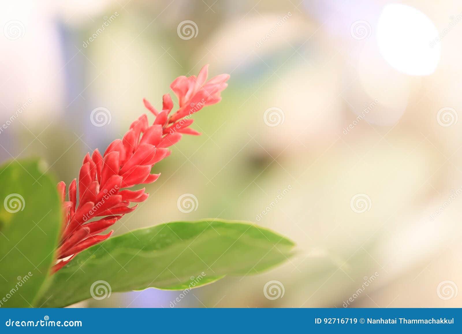 Floración del jengibre rojo