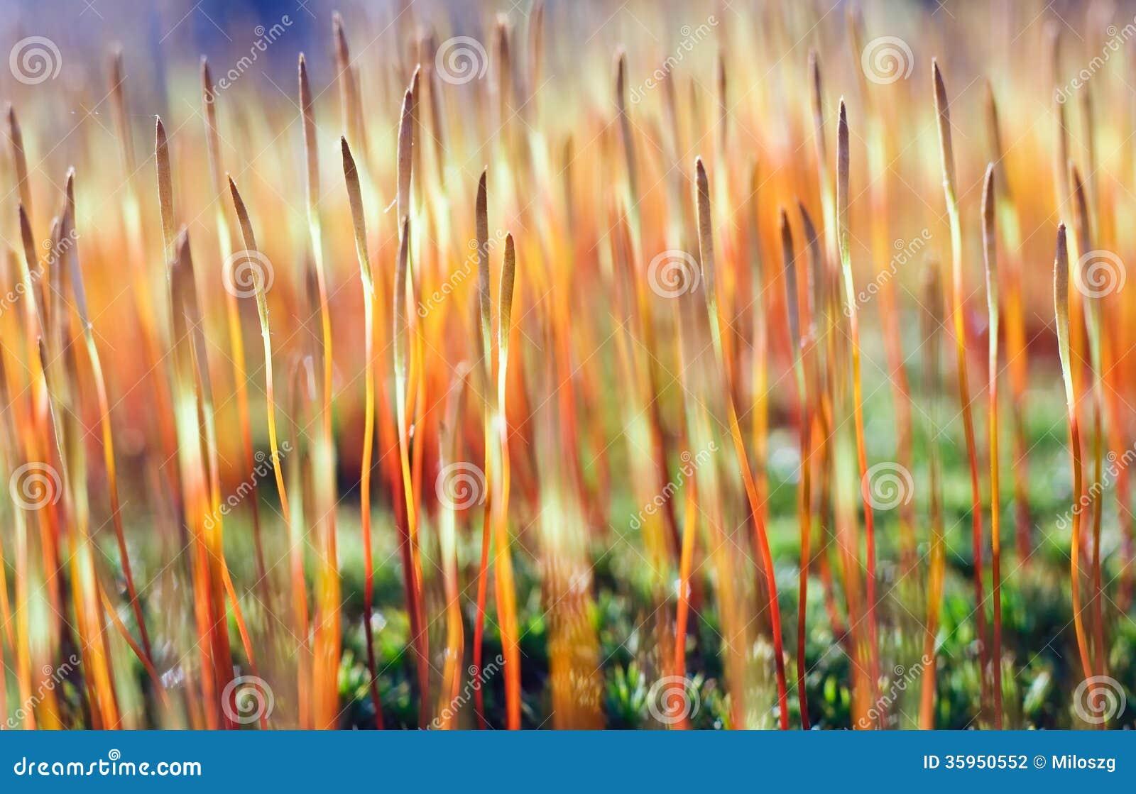 Floración del musgo