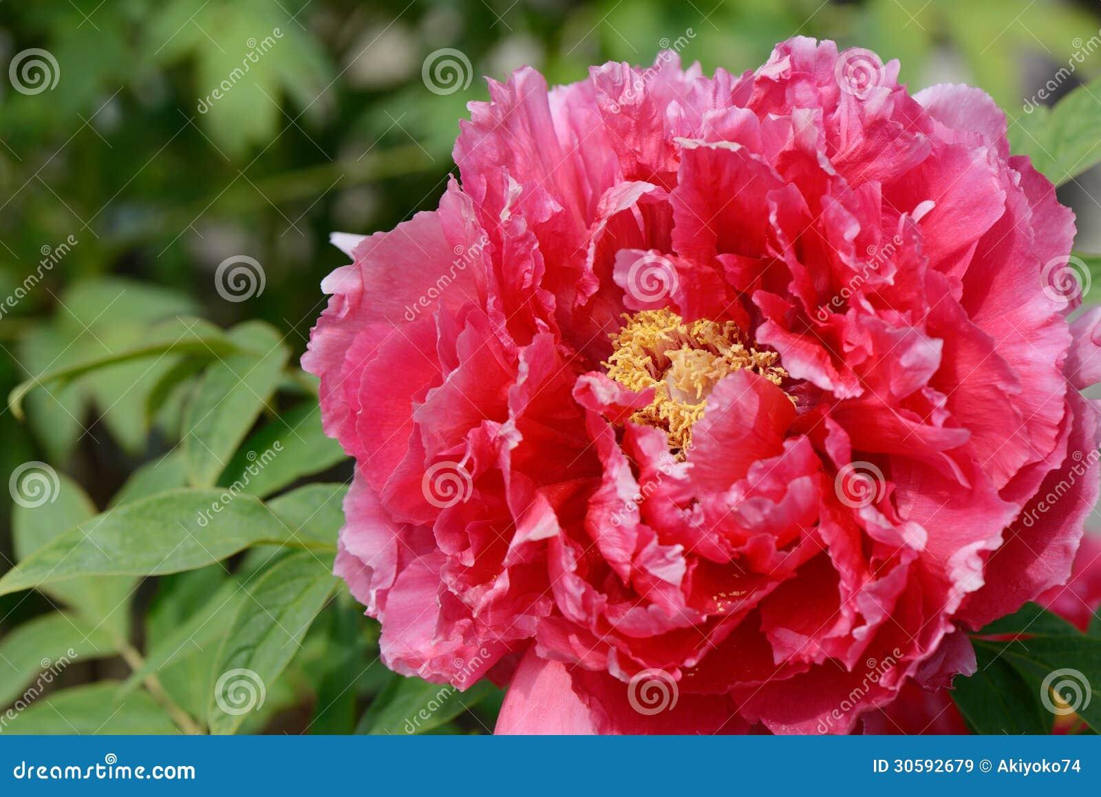 Floración del paeonia