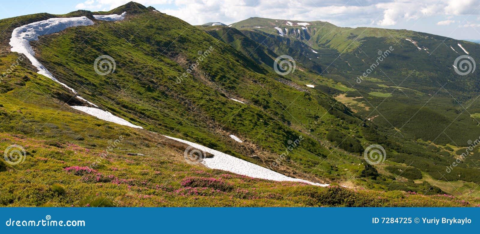 Floración del rododendro de la montaña