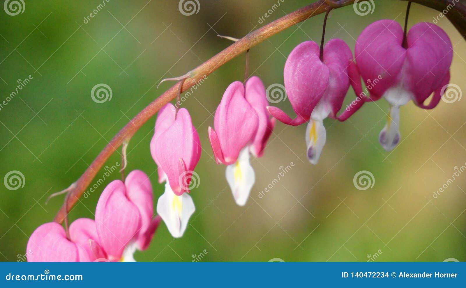 Floración del rosa del flor del corazón sangrante de la flor