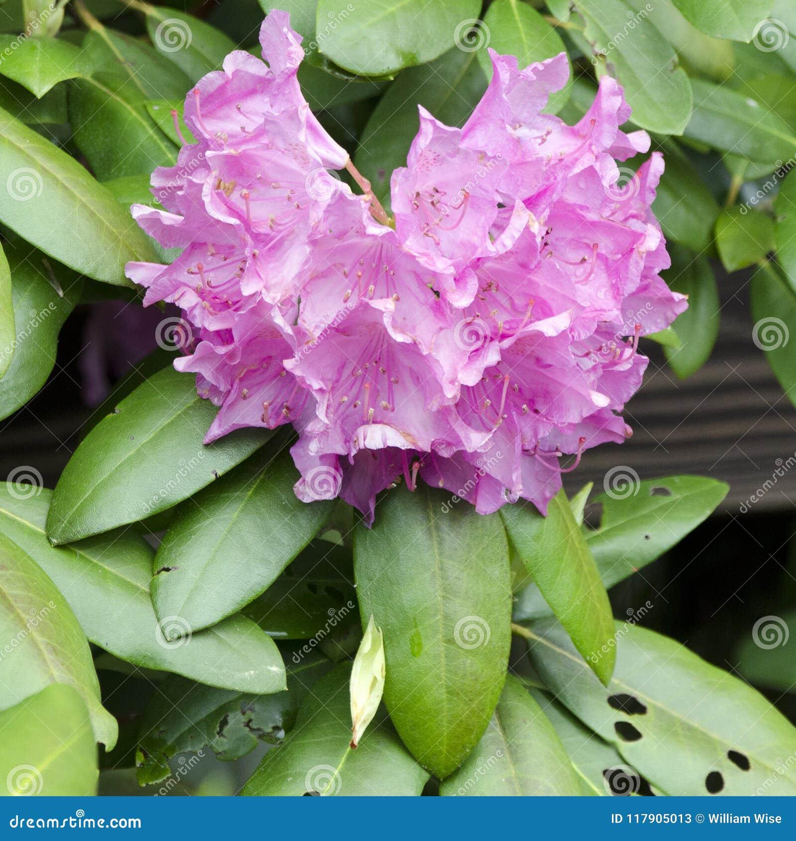 Floracion Purpura De Azalea Rhododendron De La Montana Ridge Mountains Azul Imagen De Archivo Imagen De Ridge Mountains 117905013