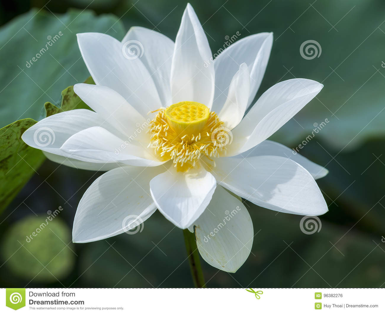 Floración pura del loto blanco en la charca