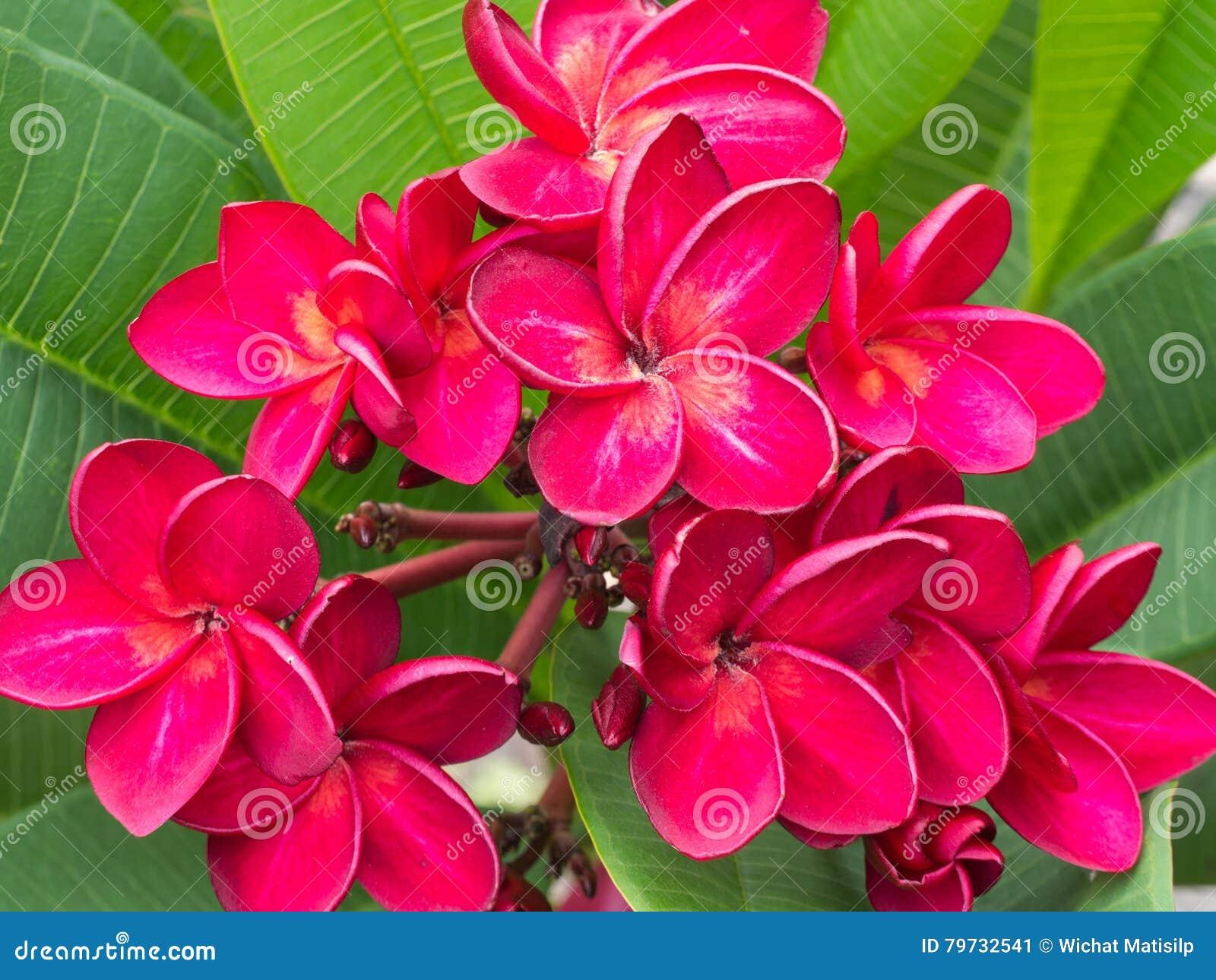 Floración roja de la flor del Plumeria