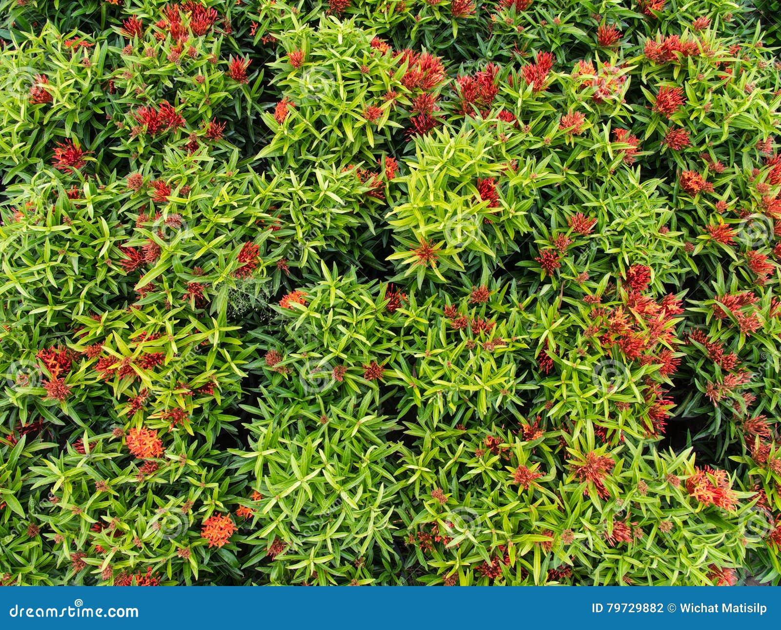 Floración roja de las flores de Ixora