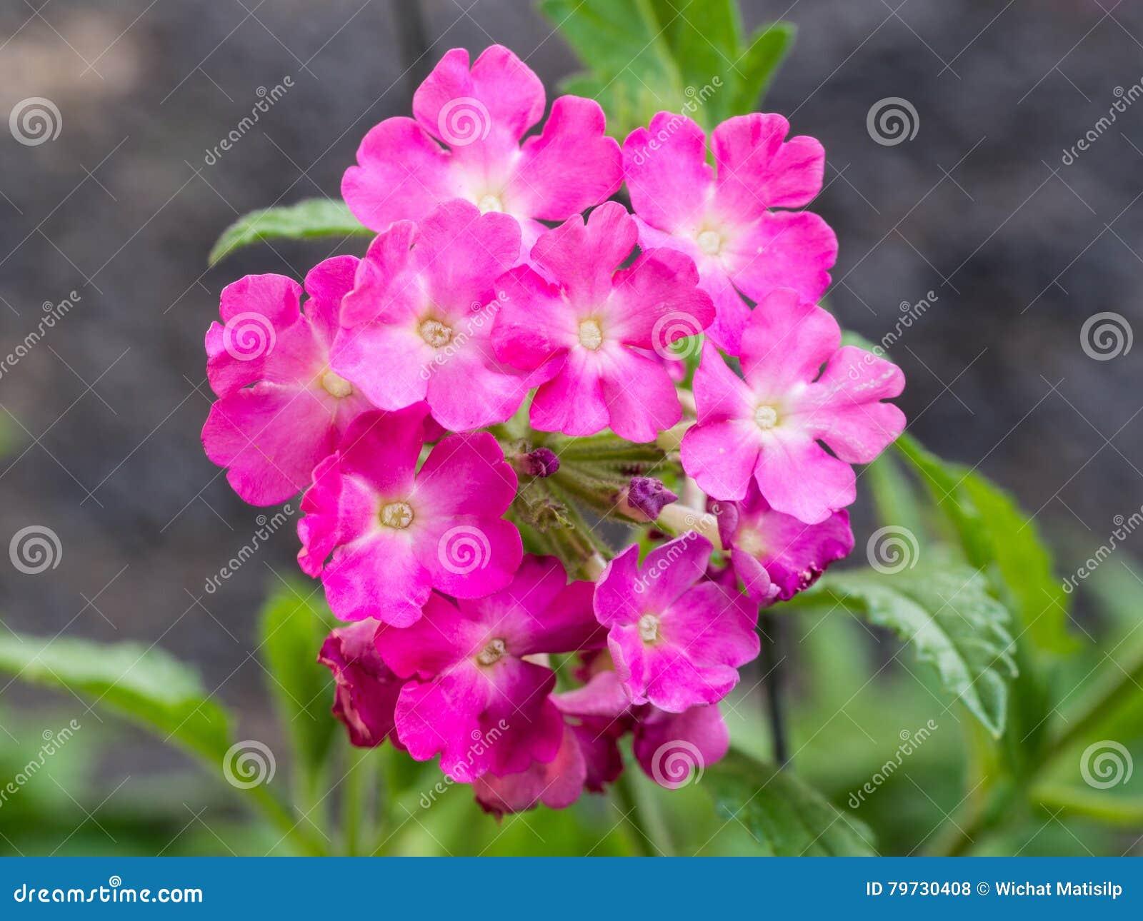 Floración rosada de las flores de la petunia
