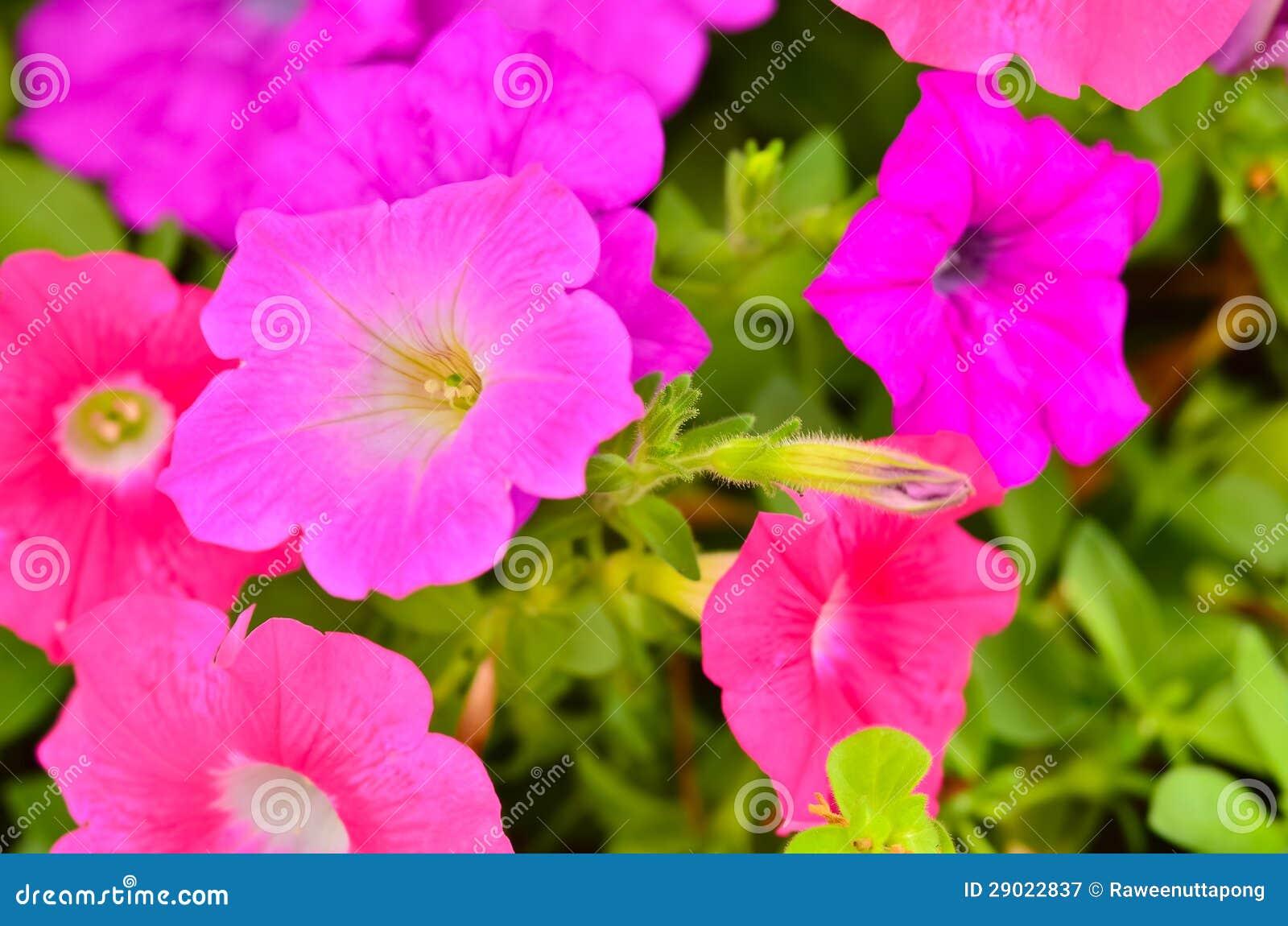 Floración Rosada De Las Plantas De La Flor De La Petunia Imagen De