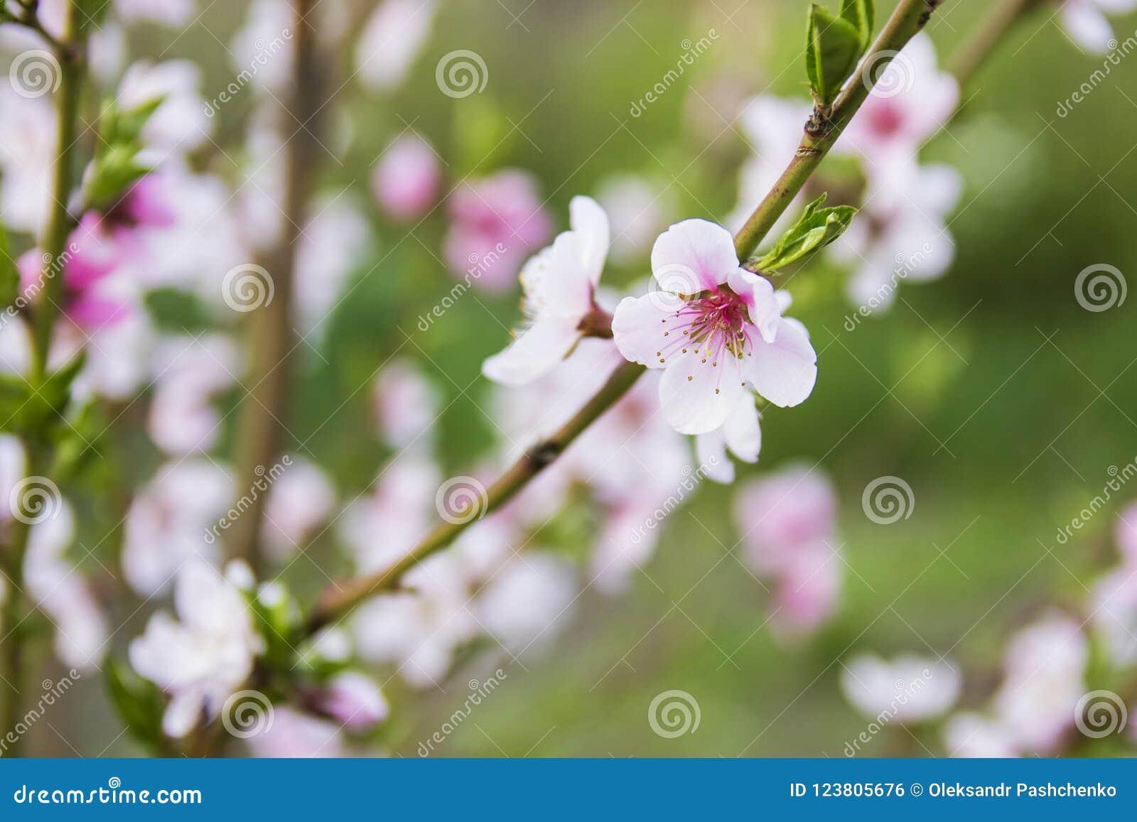 Floración rosada hermosa del melocotón