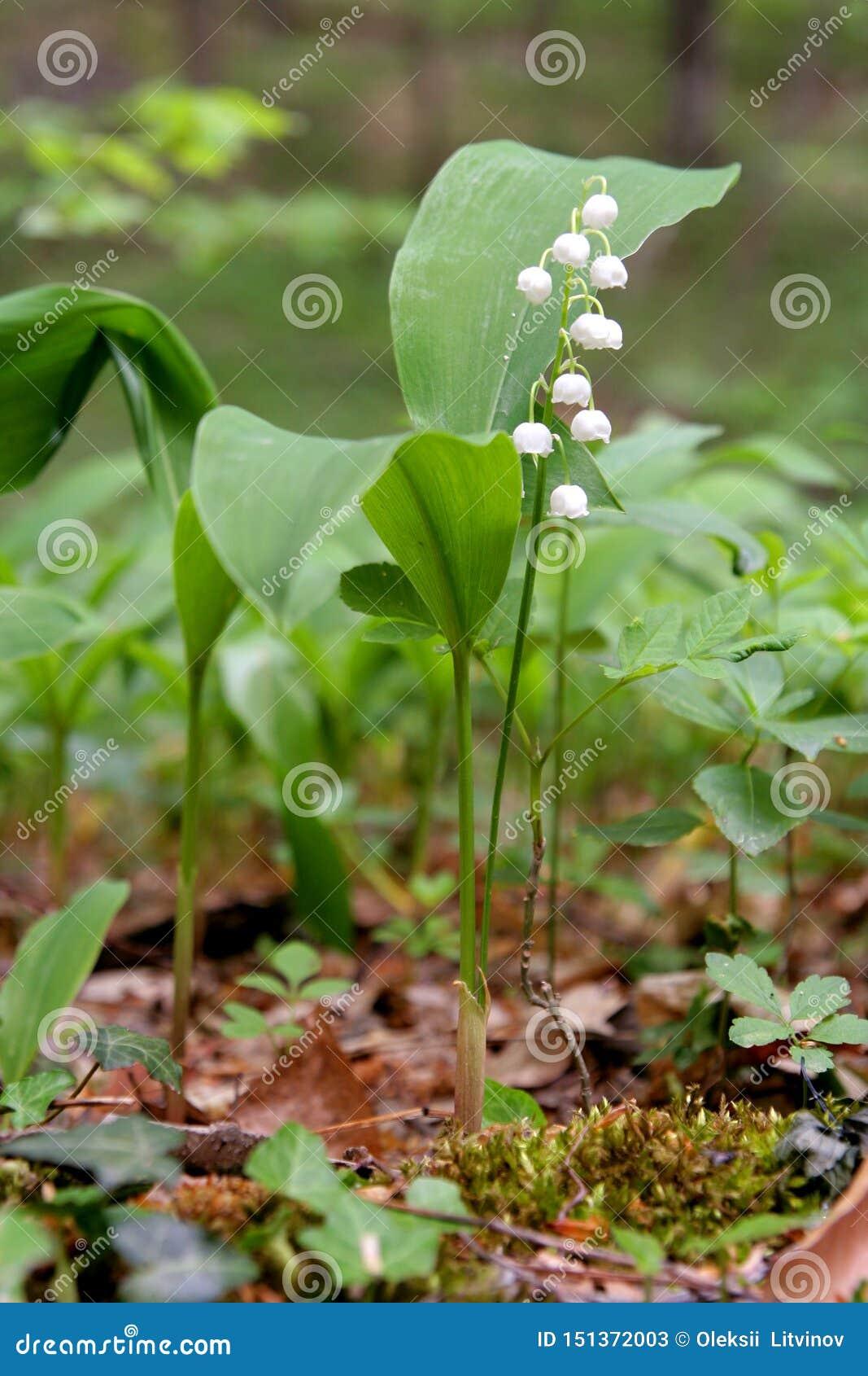 Floraciones del lirio de los valles en el bosque