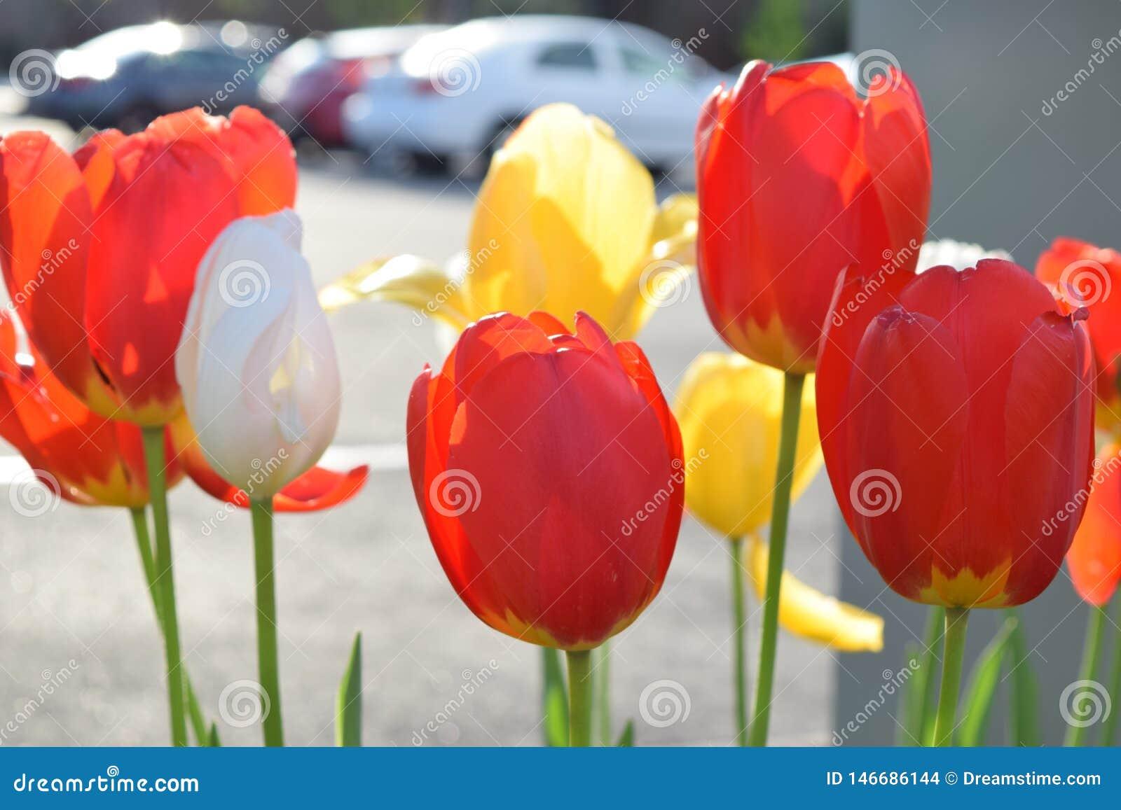Floraciones del tulipán en la primavera
