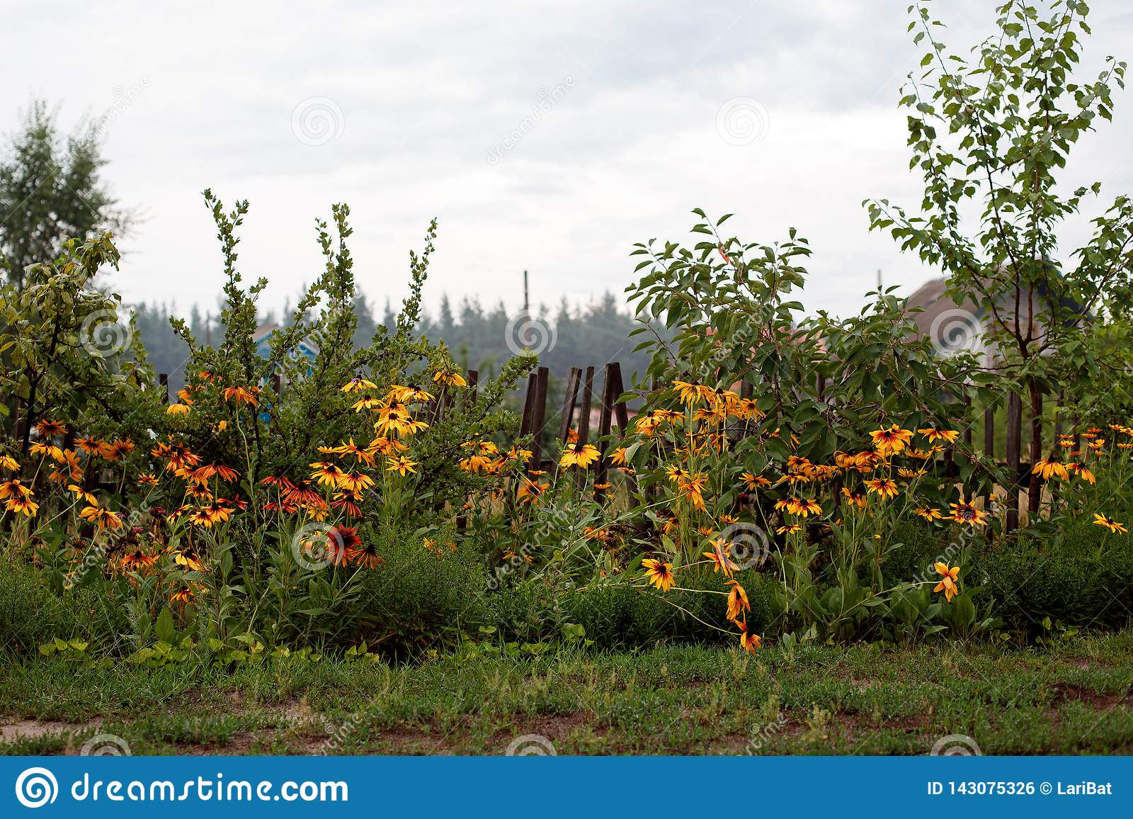Floraciones Negro-observadas de Susan en la cerca de madera en el pueblo