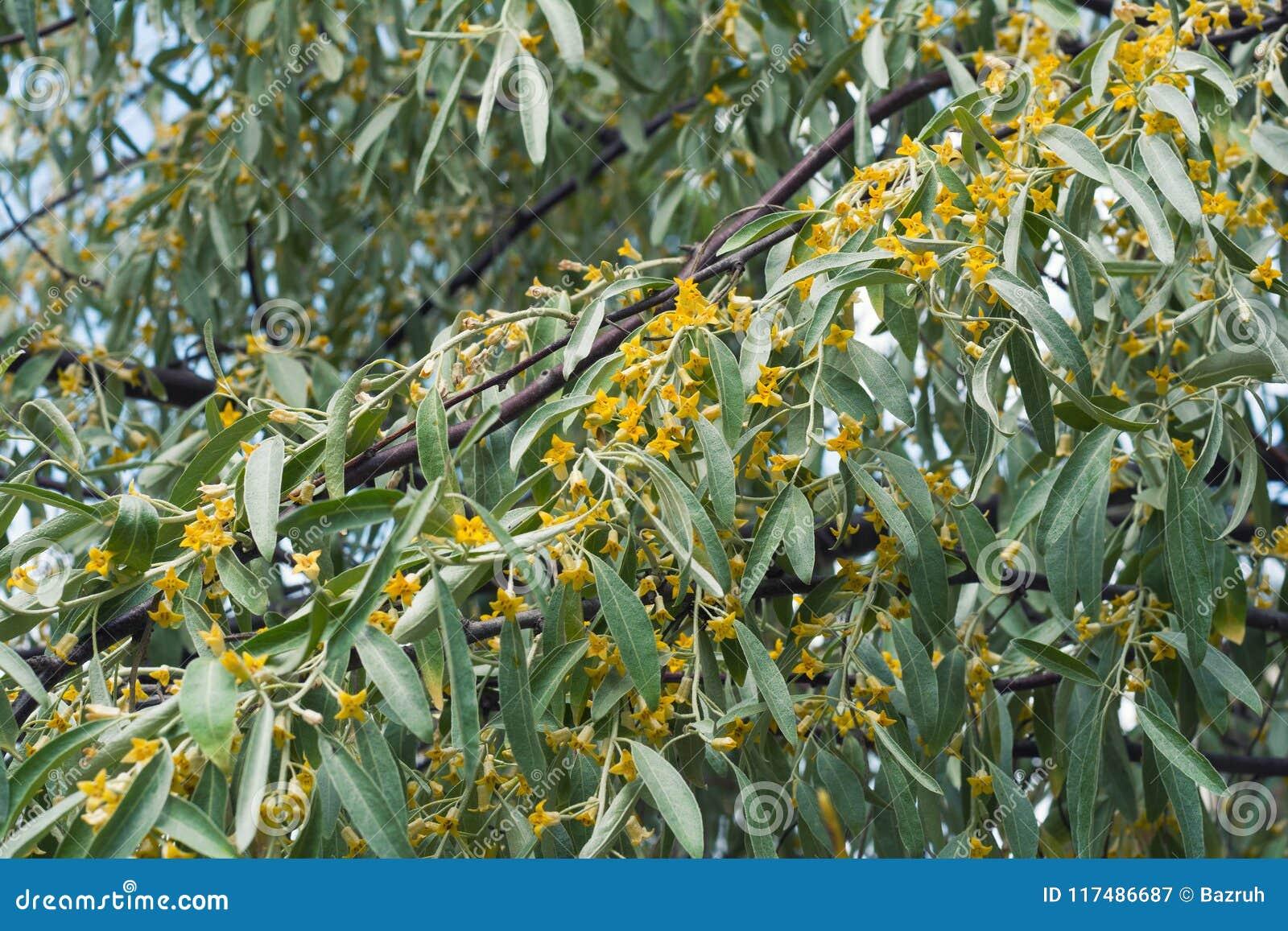 Floraison D\'arbre D\'angustifolia D\'Elaeagnus Image stock ...