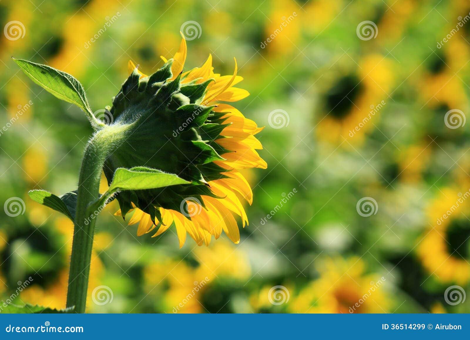 Floraison de tournesol