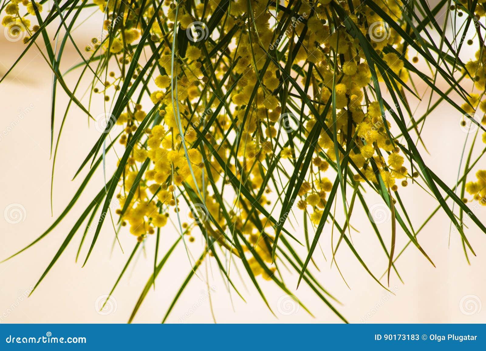 Floraison Du Pycnantha D Acacia D Arbre De Mimosa Fin D Acacia D Or