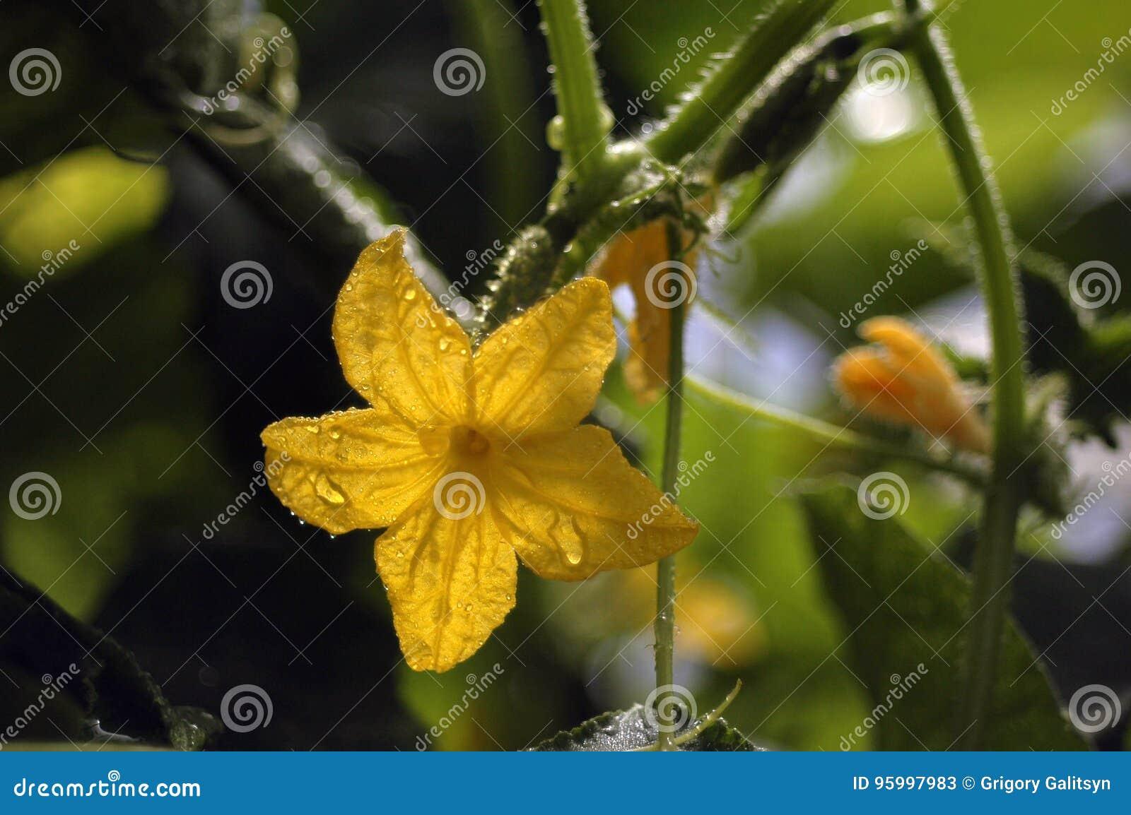 Floraison et maturation des concombres d un grand choix de cornichons après arrosage