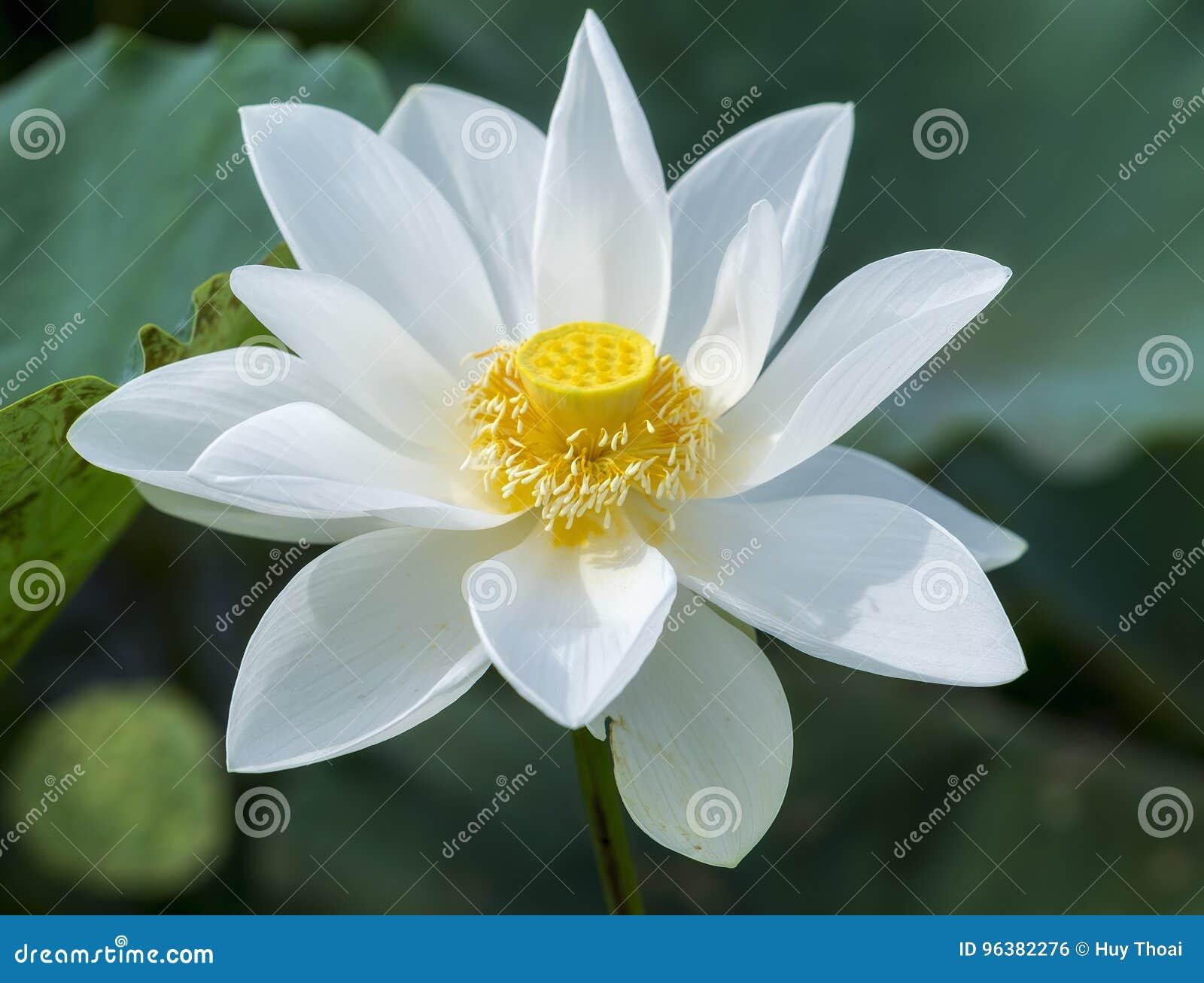 Floraison pure de lotus blanc dans l étang