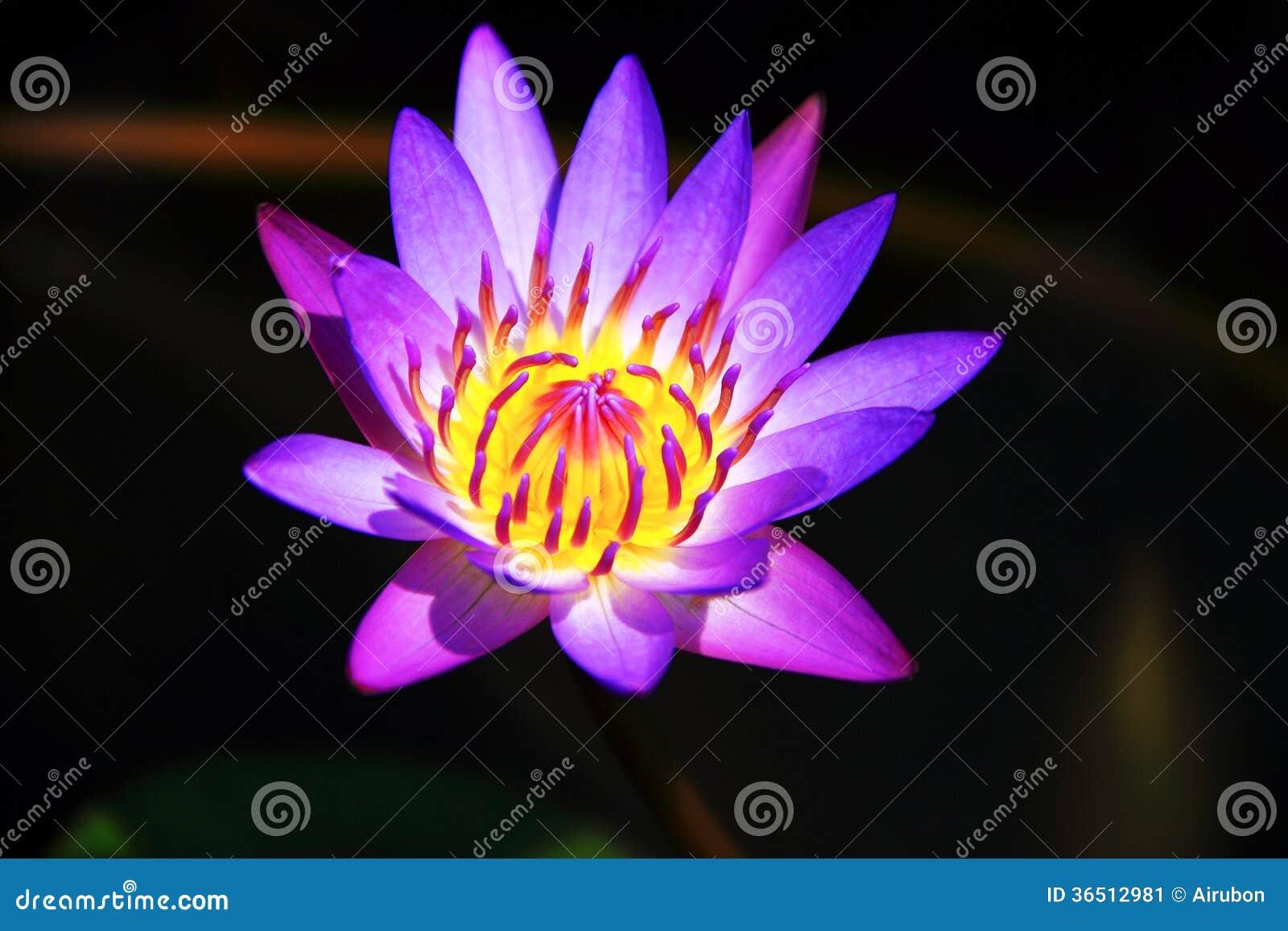Floraison rose de lotus