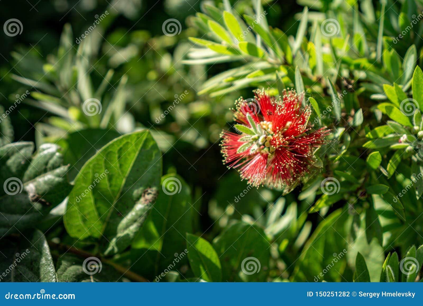 Floraison rouge pleurante de fleurs de bottlebrush