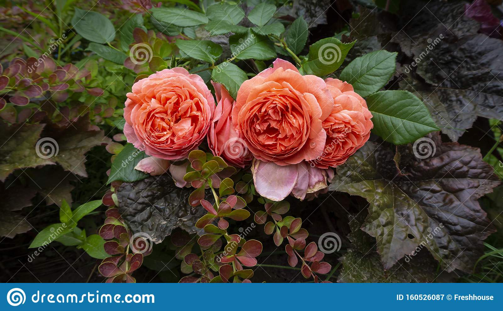 Floral Arrangement Of David Austin S Orange English Rose Summer Song Burgundy Geyhera And Barberry Computer Desktop Wallpaper I Stock Image Image Of Blooming Austins 160526087