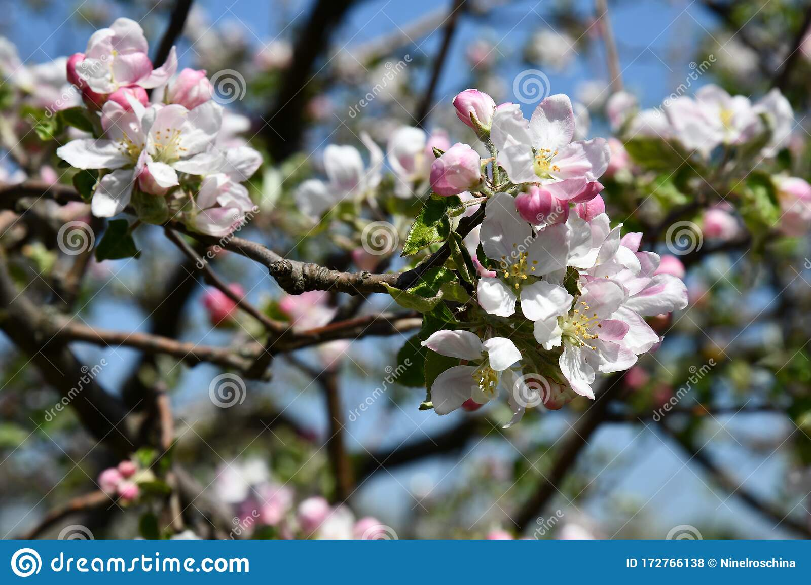 Floral Backdrop Of Beautiful Cherry Blossoms On Blurry Background Of Blue Sky White Pink Flowers Closeup Sakura Tree In Bloom Stock Photo Image Of Botanical Gardening 172766138