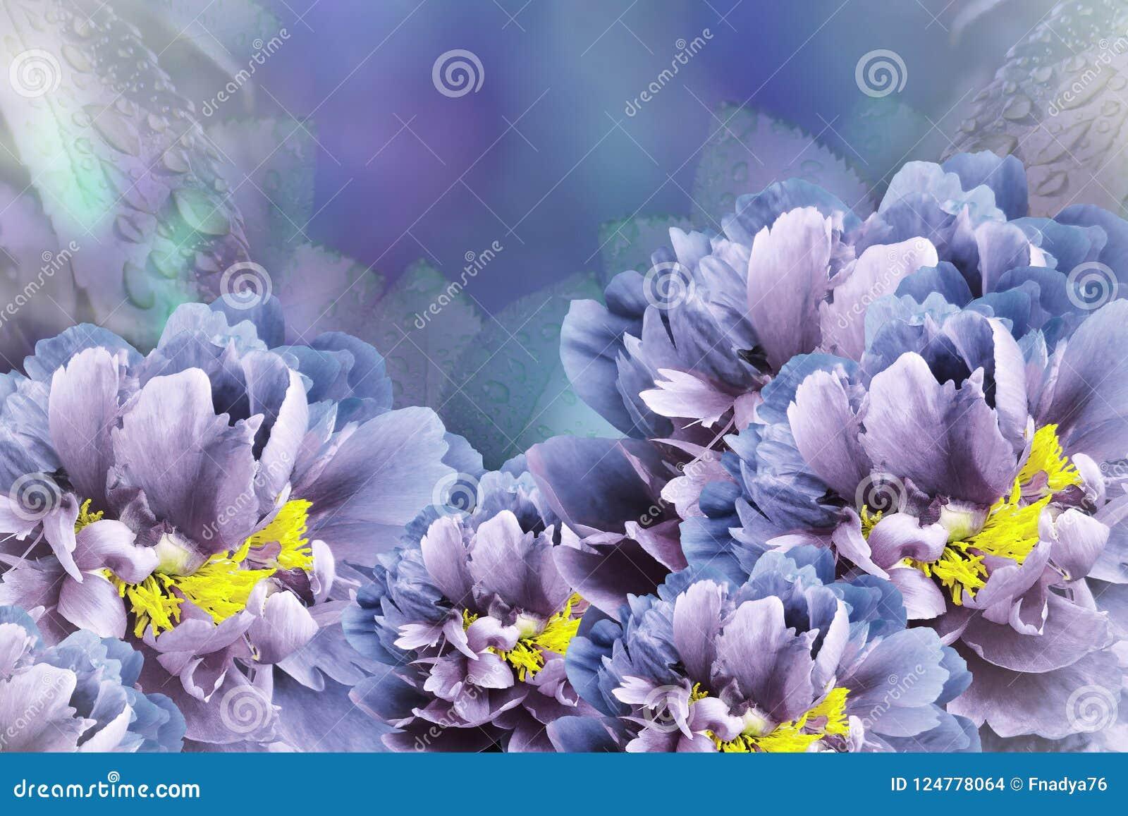 Floral background blue-violet peonies. Flowers close-up on a turquoise-blue-violet background. Flower composition