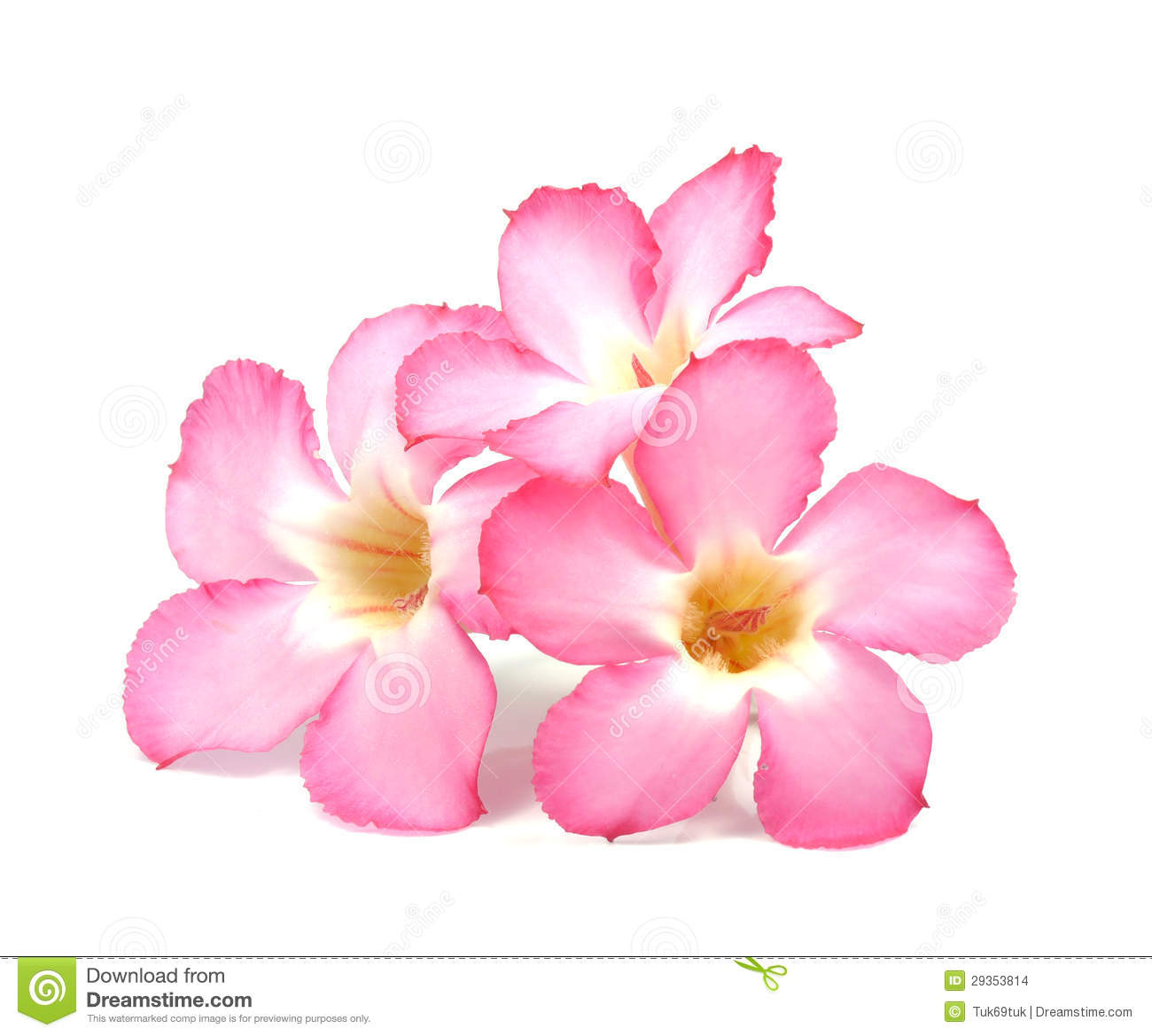 Floral background close up of tropical flower pink adenium stock close up of tropical flower pink adenium mightylinksfo Images