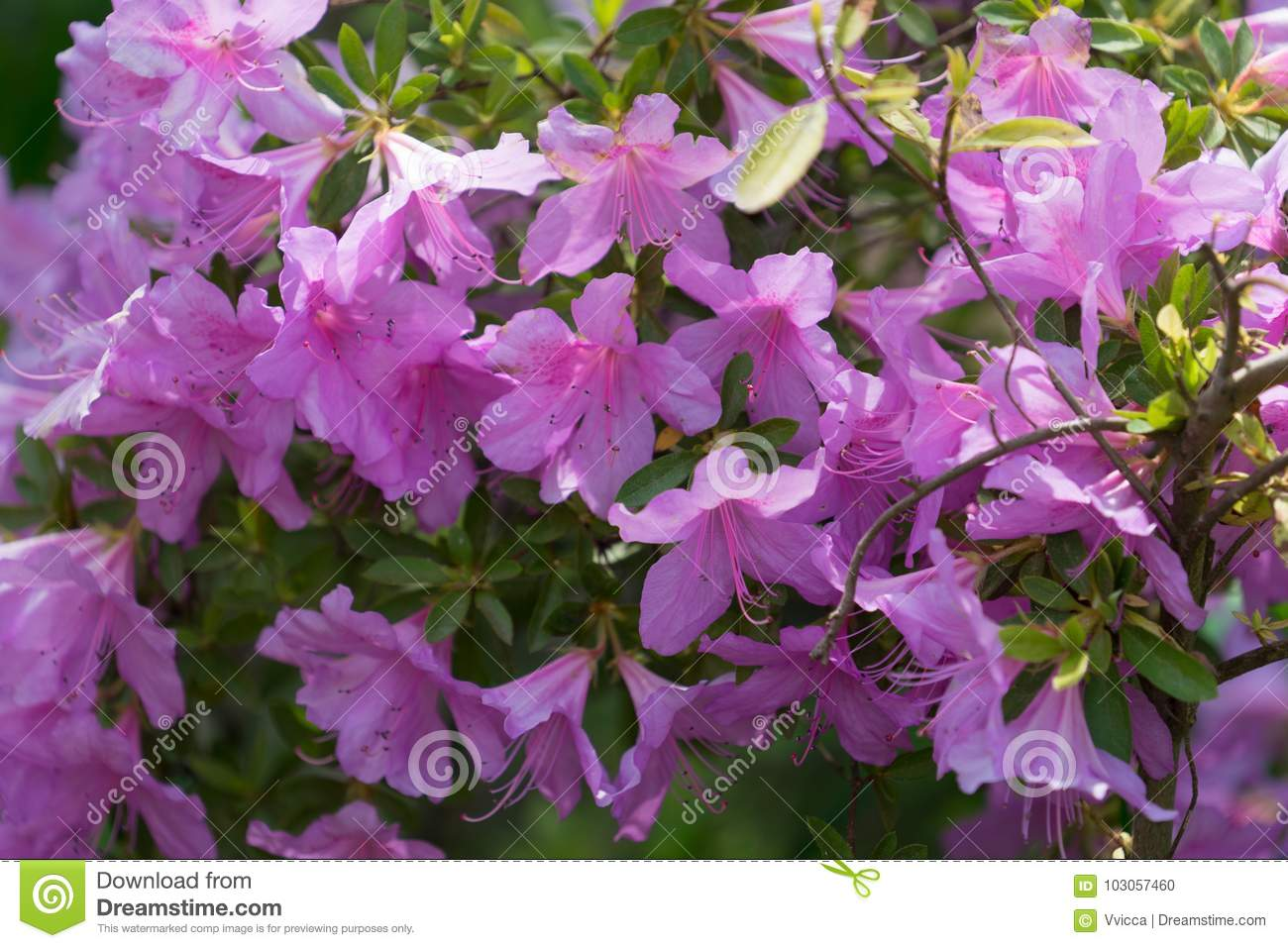 Floral Background With Lots Of Pink Flowers On A Rhododendron Stock