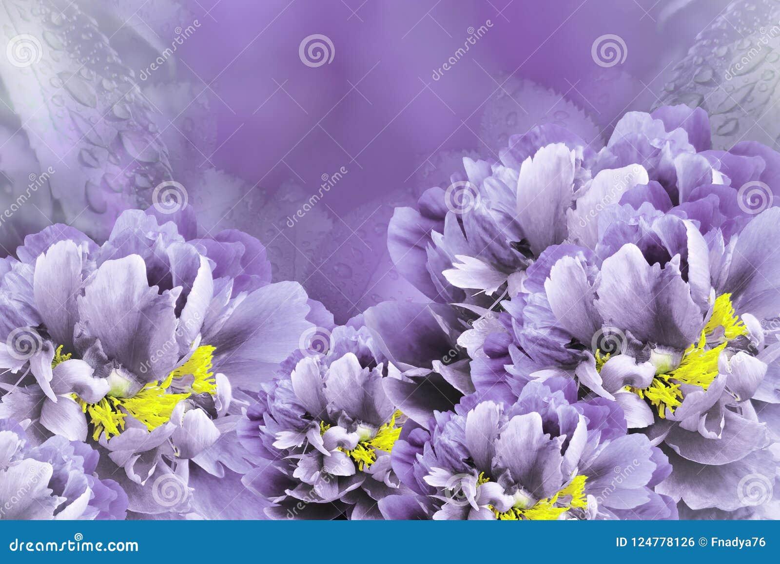 Floral background violet peonies flowers close up on a purple download floral background violet peonies flowers close up on a purple background flower mightylinksfo