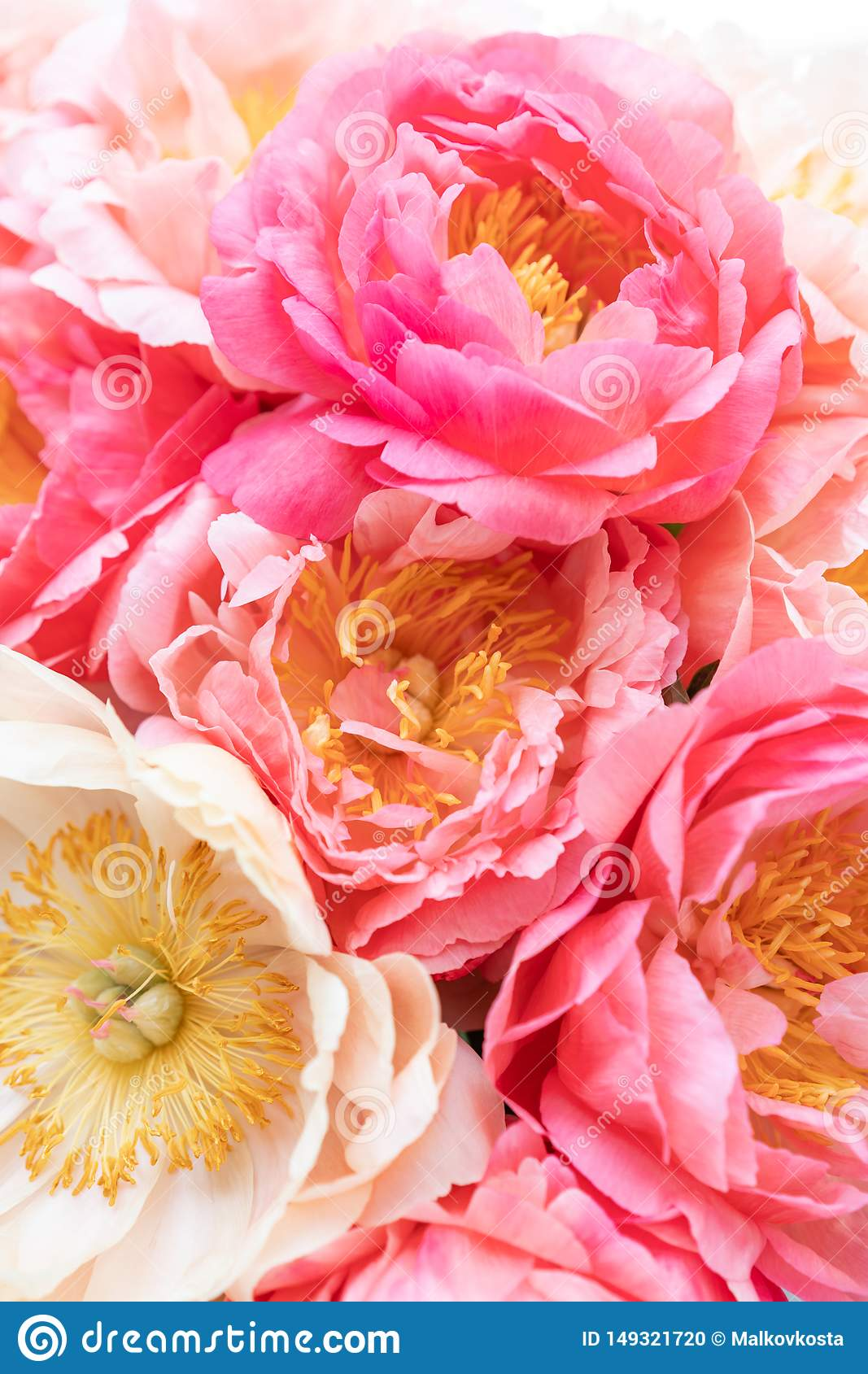 Floral Carpet Or Wallpaper Background Of Coral Peonies Morning