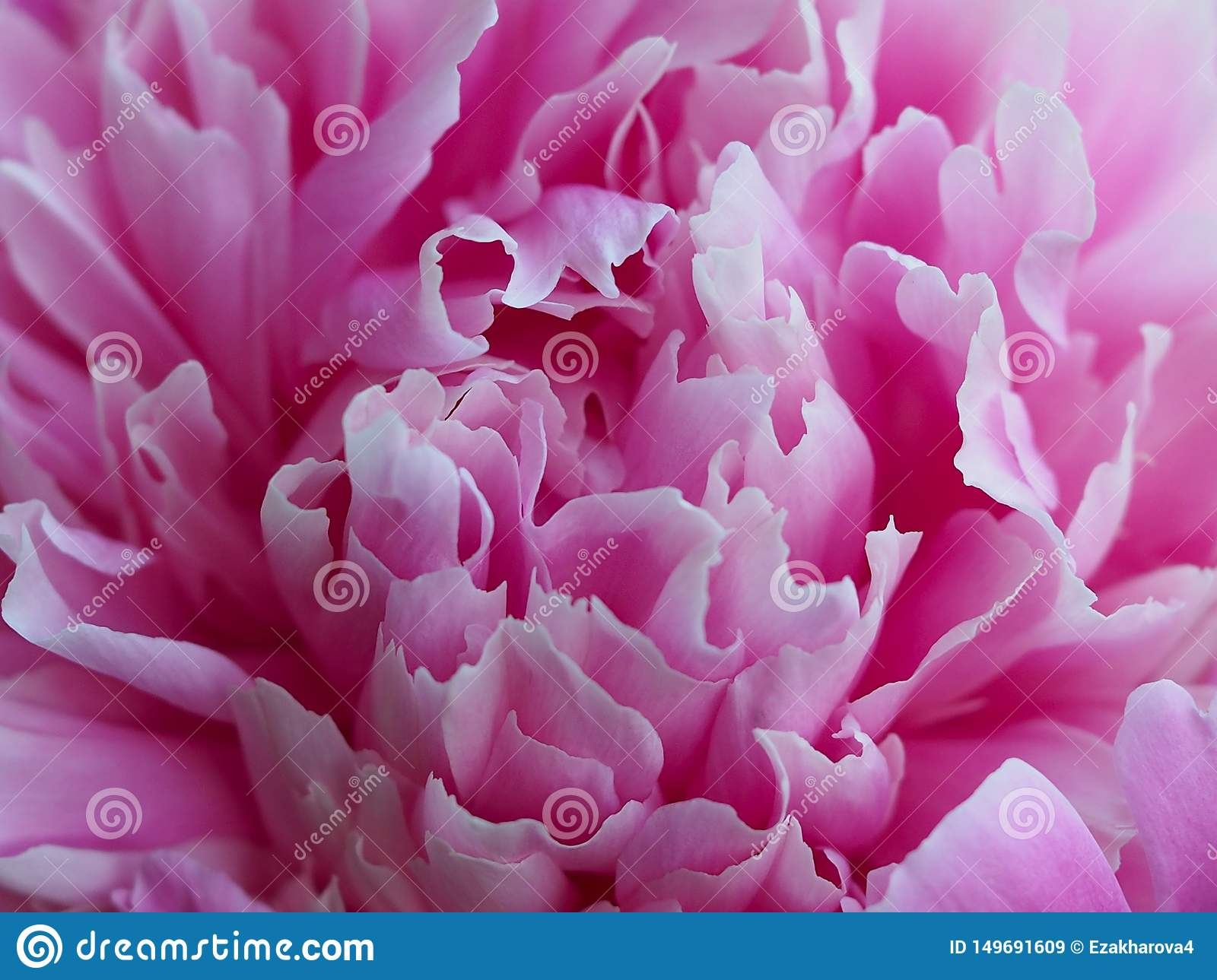 Floral Pink Background With Peony Petals Stock Image Image Of