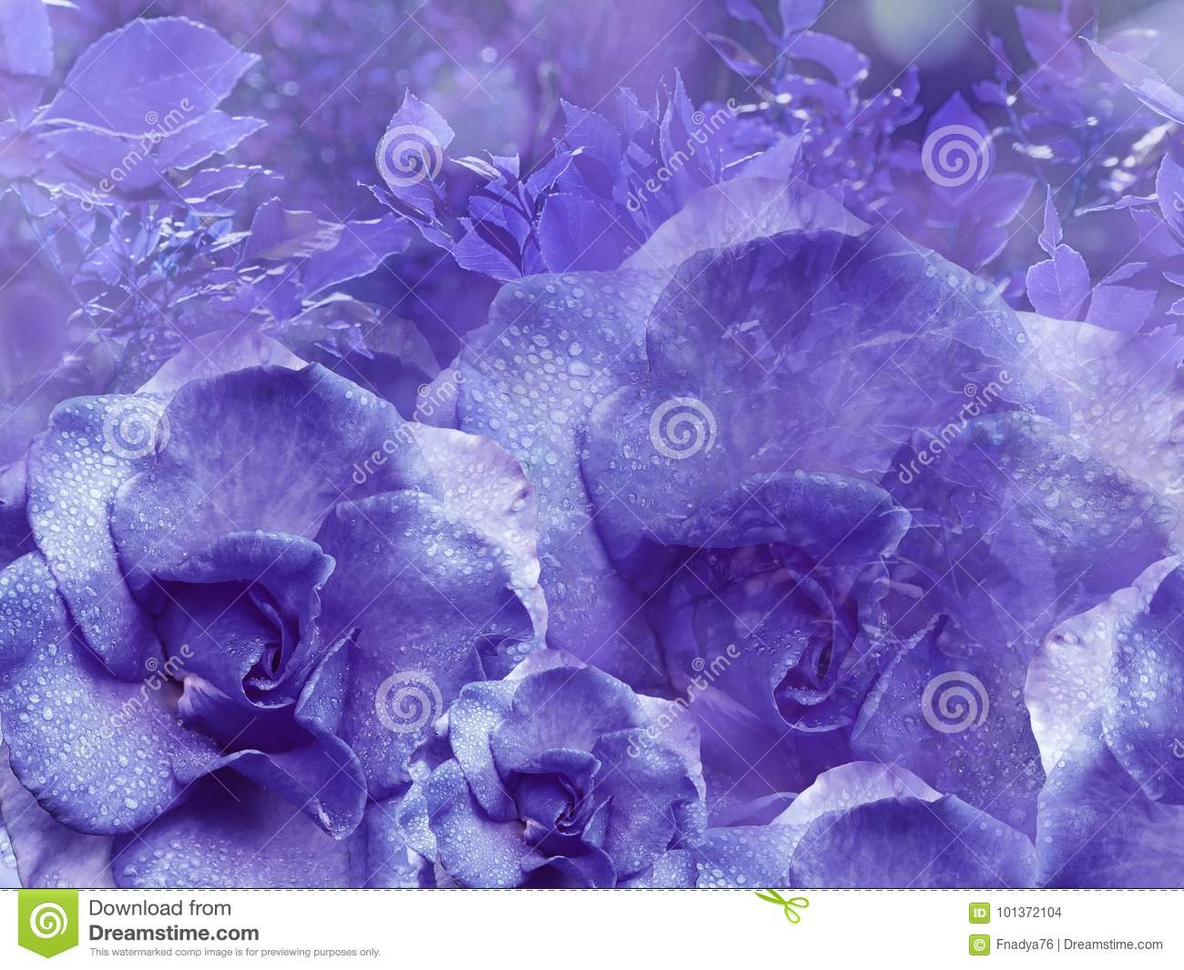 Floral purple background from roses. Flower composition. Flowers with water droplets on petals. Close-up.