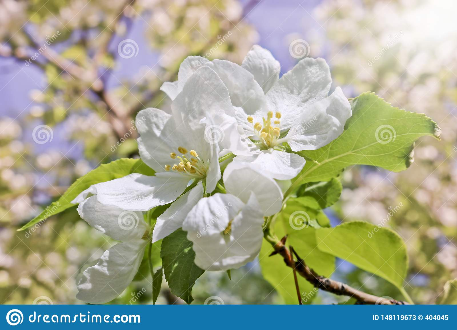 Floral spring background, branches of blossoming apple trees with soft focus in sun rays.