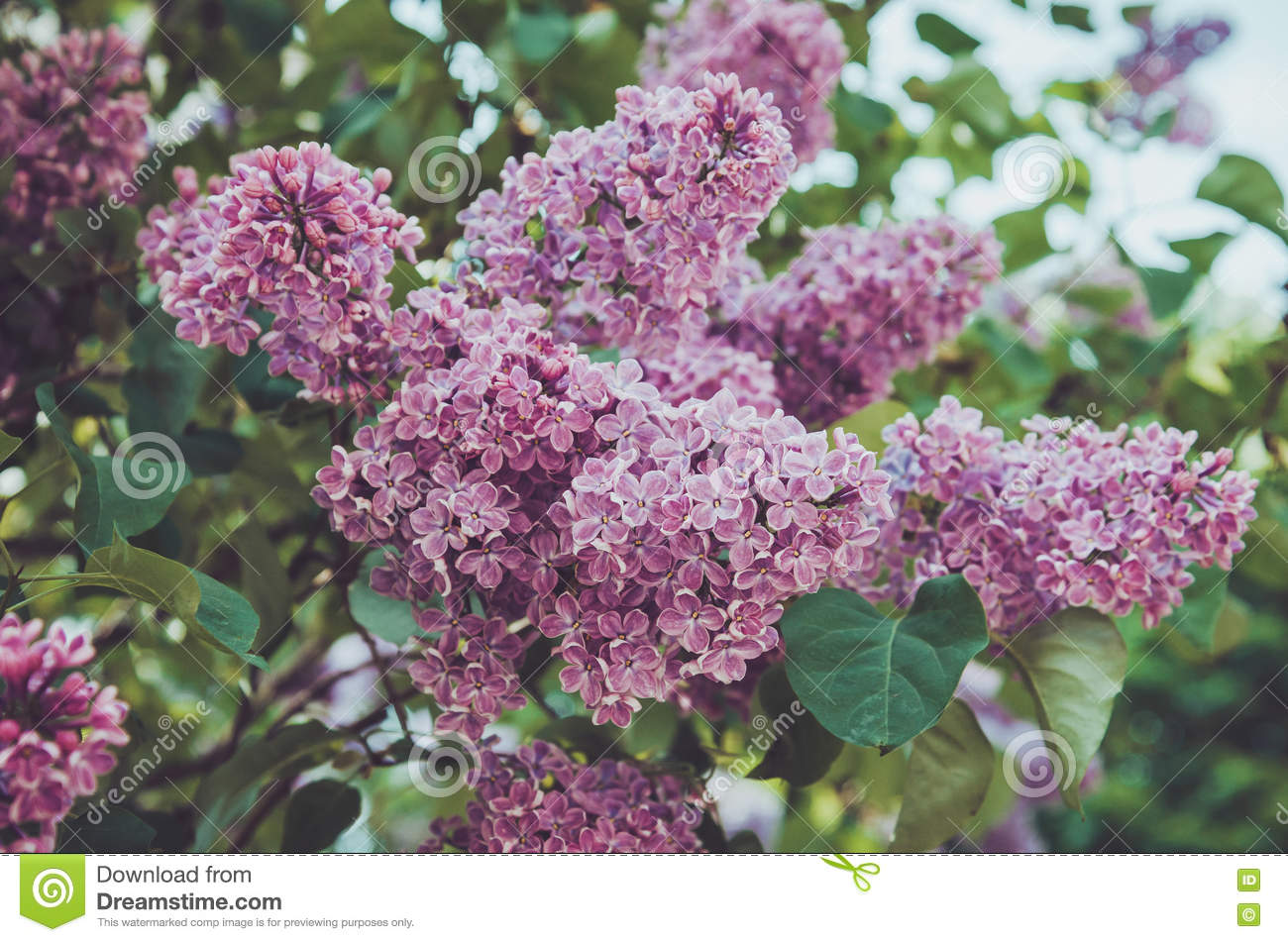 Floral spring purple lilac flower in sunlight background. Summer park outdoor abstract nature. Bloom macro pink flowers