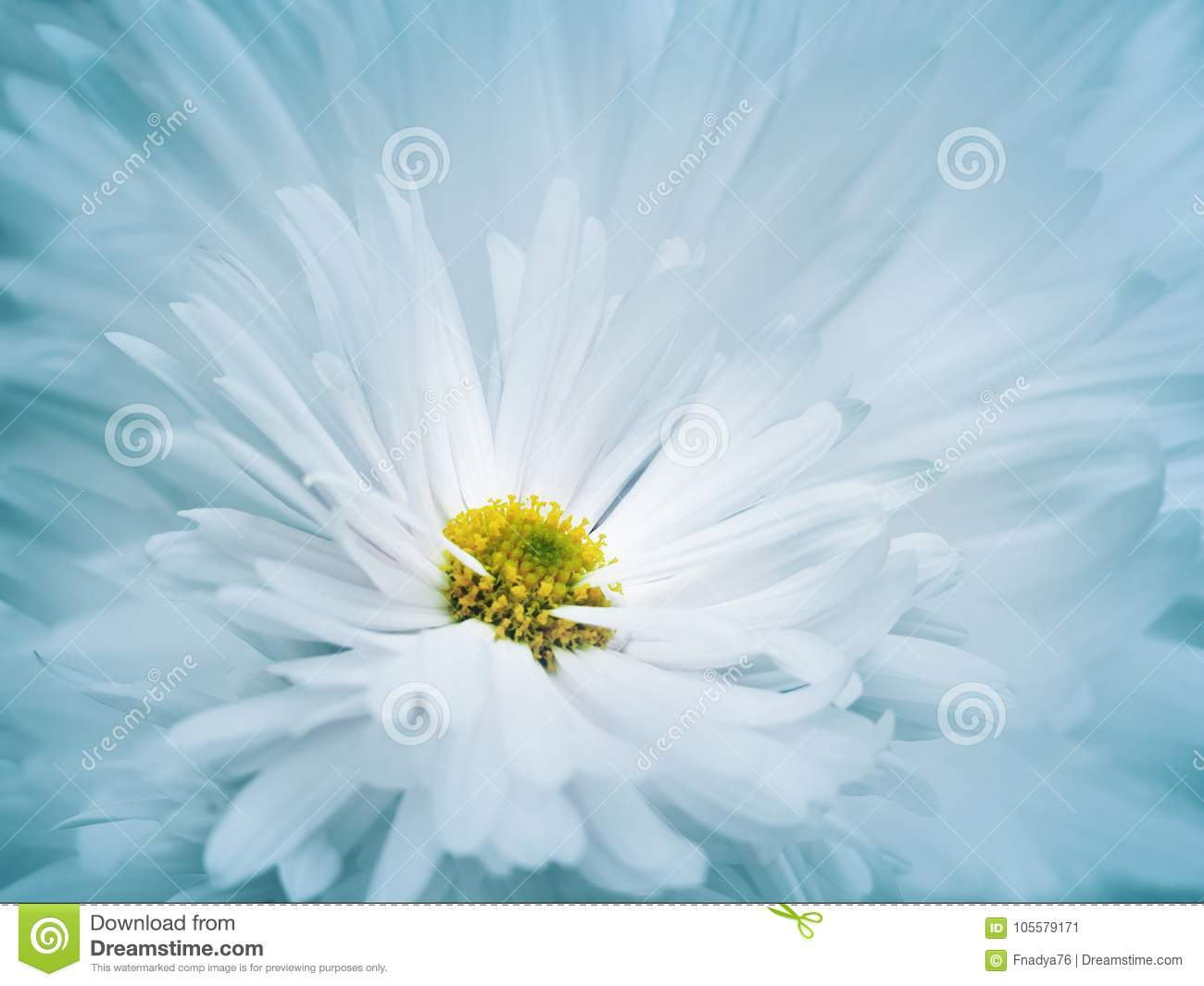 Floral turquoise-white beautiful background. A flower of a white chrysanthemum against a background of light blue petals. Close-up
