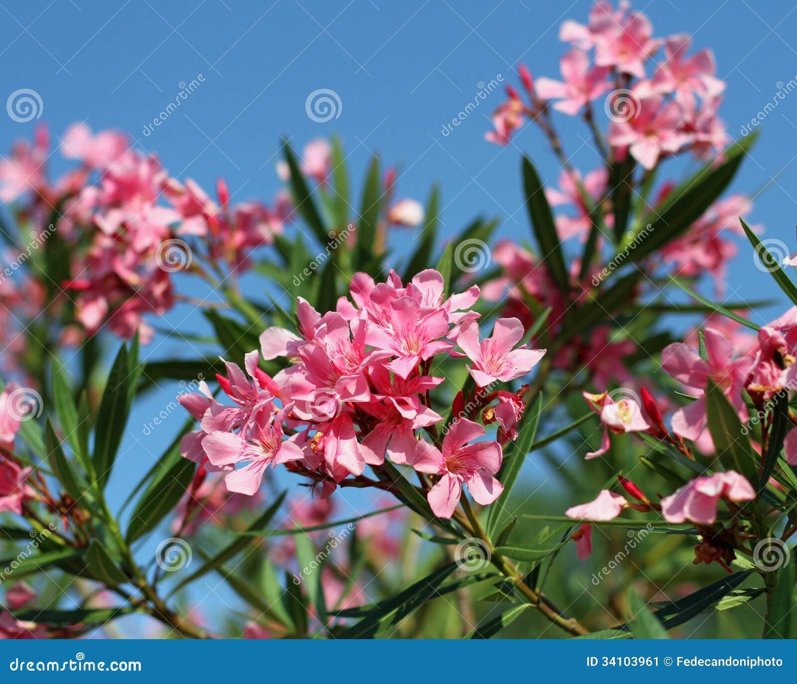 flore de fleur d'oléandre typique du méditerranéen dans e du sud
