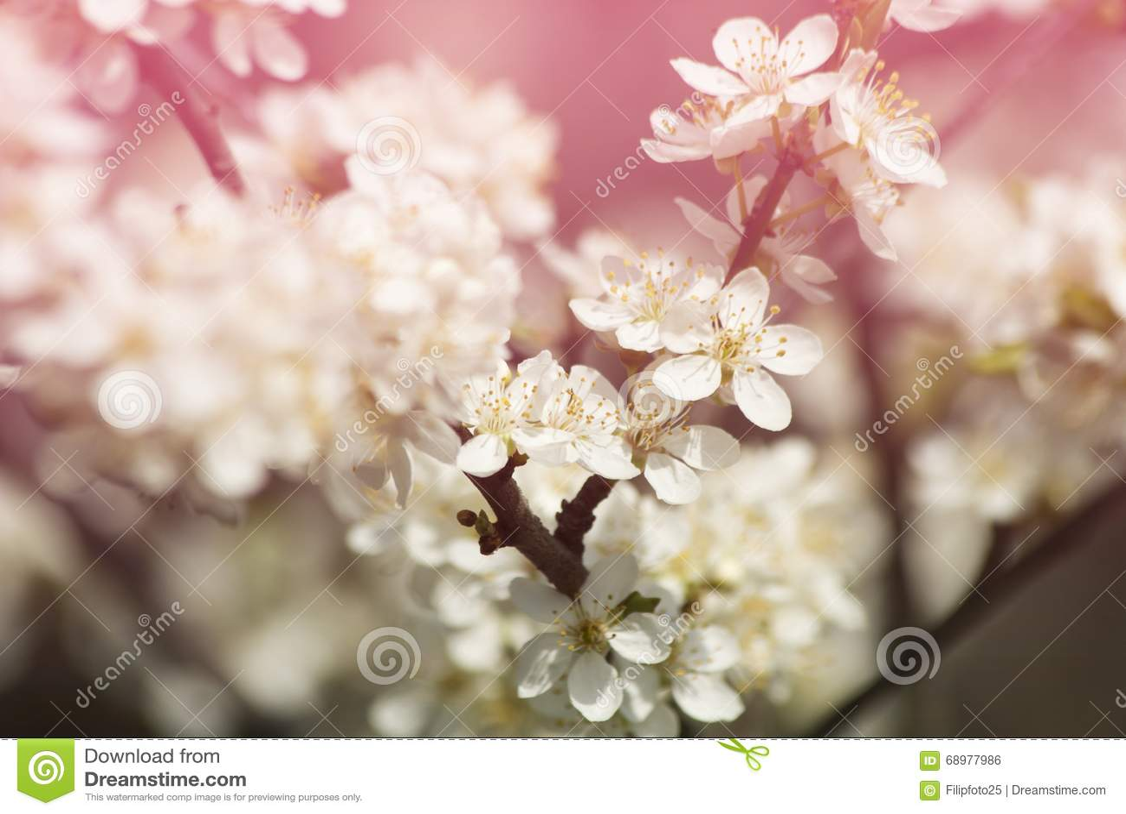 Florece cerezas