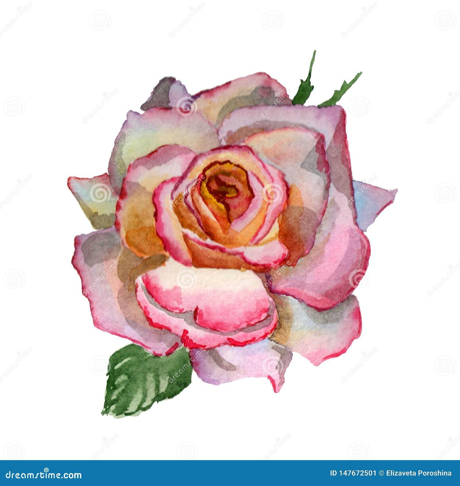Florece el ejemplo de la acuarela Un Rosa rosado blando en un fondo blanco