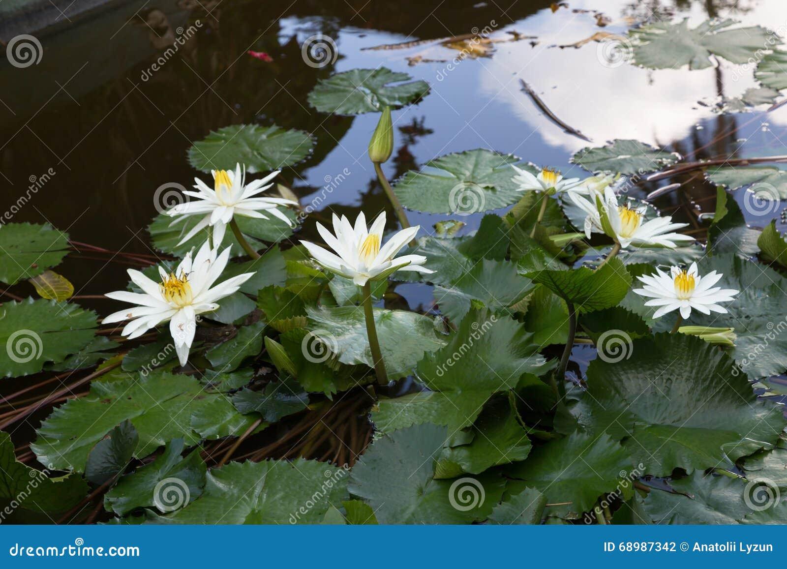 Florece el loto blanco