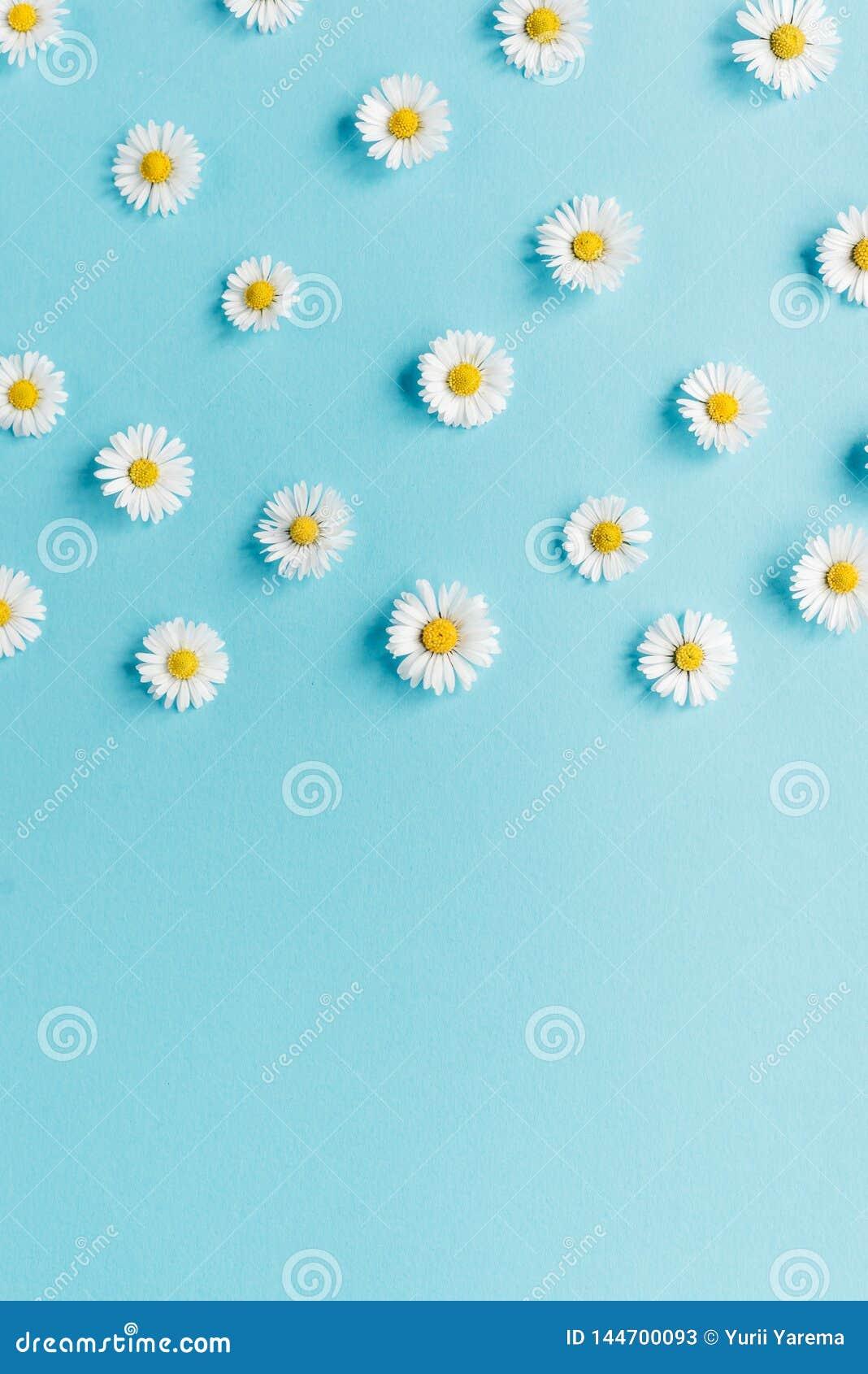 Florece la composici?n Modelo hecho de las flores de la manzanilla en fondo azul en colores pastel Primavera, concepto del verano